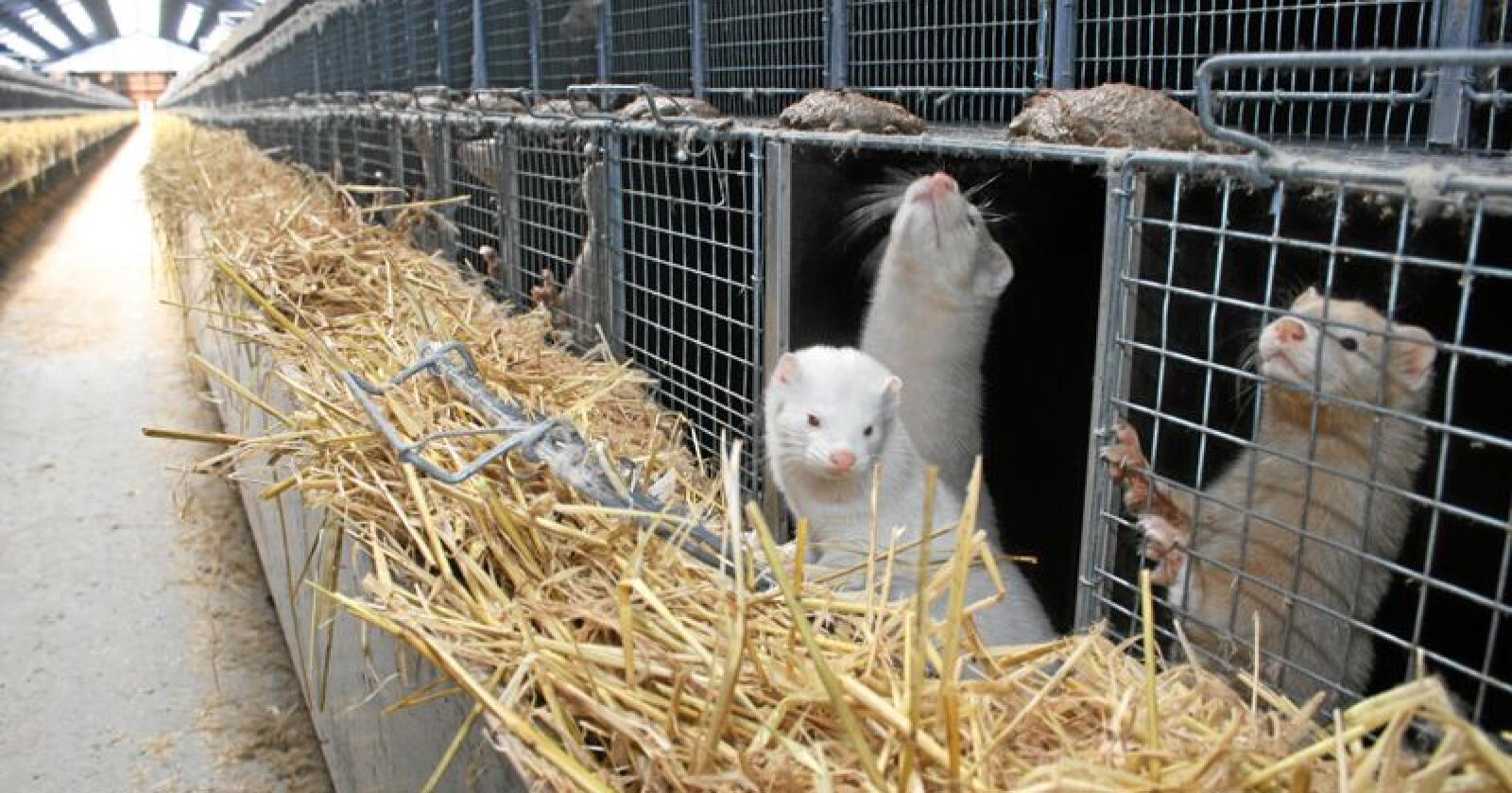Etter at Mattilsynet gjorde en feil ved rapporteringa fra en minkfarm har tilliten til tilsynet blitt svekket. Det ifølge pelsdyralslaget i Rogaland. Foto: Bjarne Bekkeheien Aase
