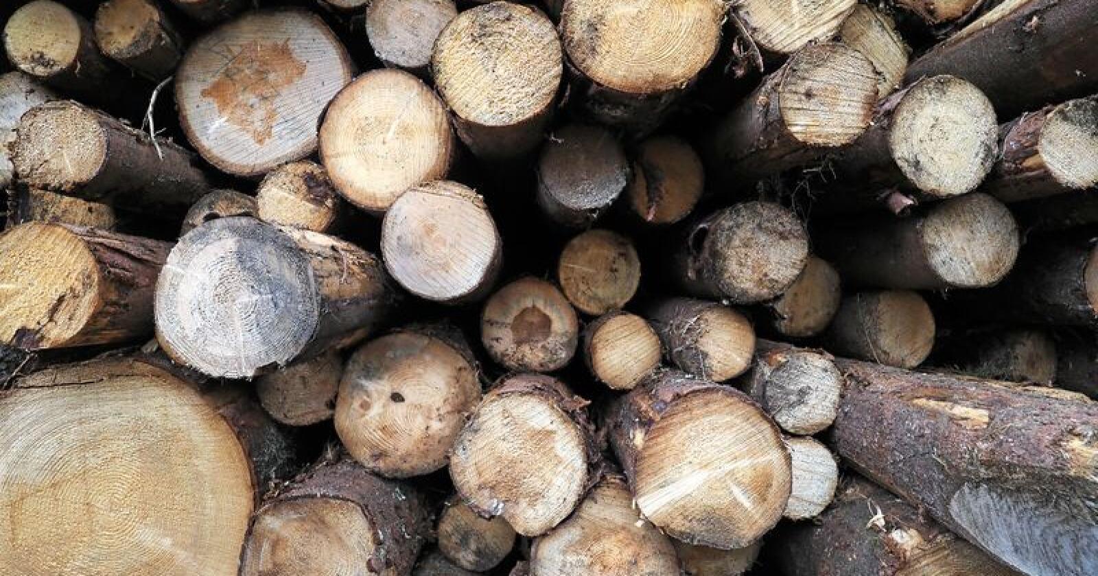 Det er beregna at rotkjuka ødelegger trevirke fra granproduksjonen for 100 millioner kroner i året. Foto: Siri Juell Rasmussen