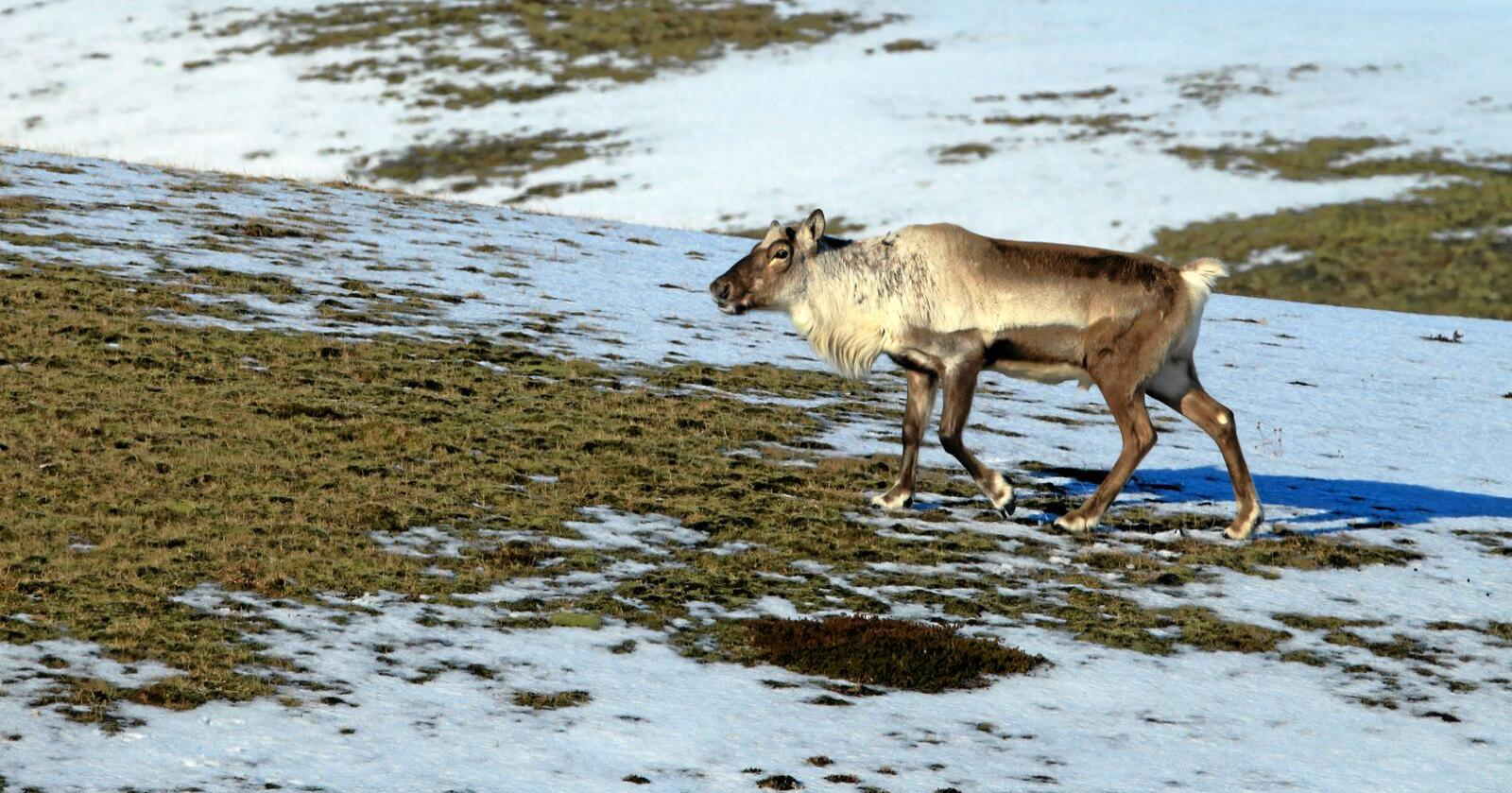 Reindeer, Caribou,in the winter, Iceland