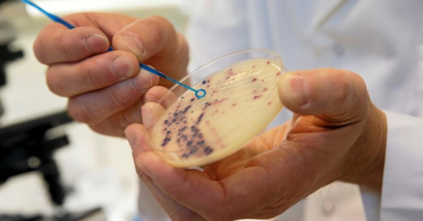 Resistens: Antibiotikaresistente bakterier i laboratoriet på Veterinærinstituttet i Oslo.  Foto: Cornelius Poppe/NTB scanpix