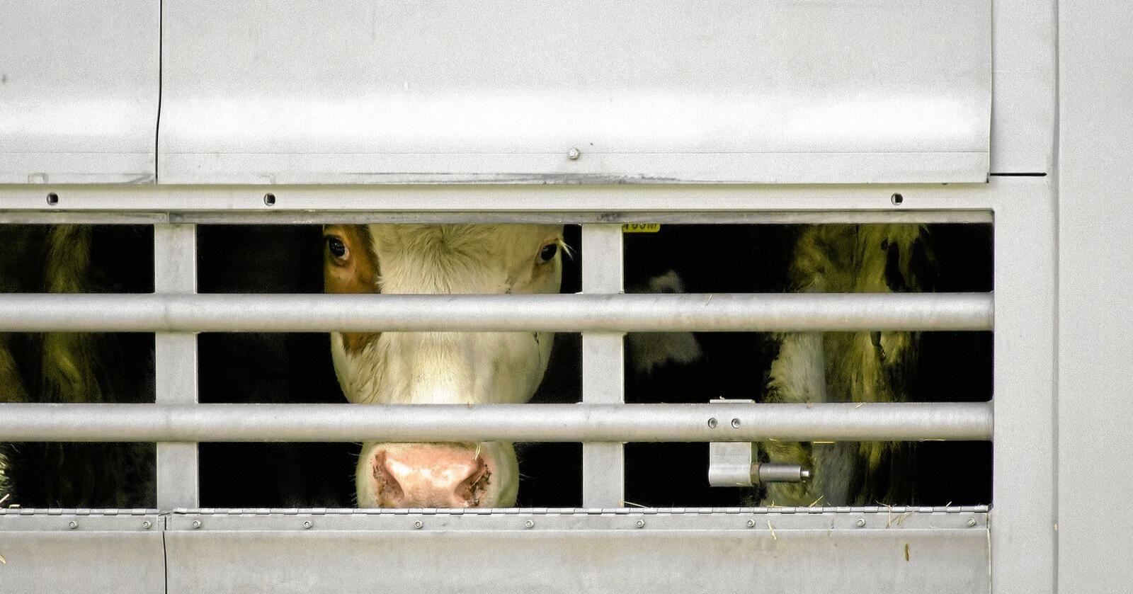 Hver dag blir fem millioner dyr transportert rundt omkring i verden. Foto: Richard Schramm / Mostphotos