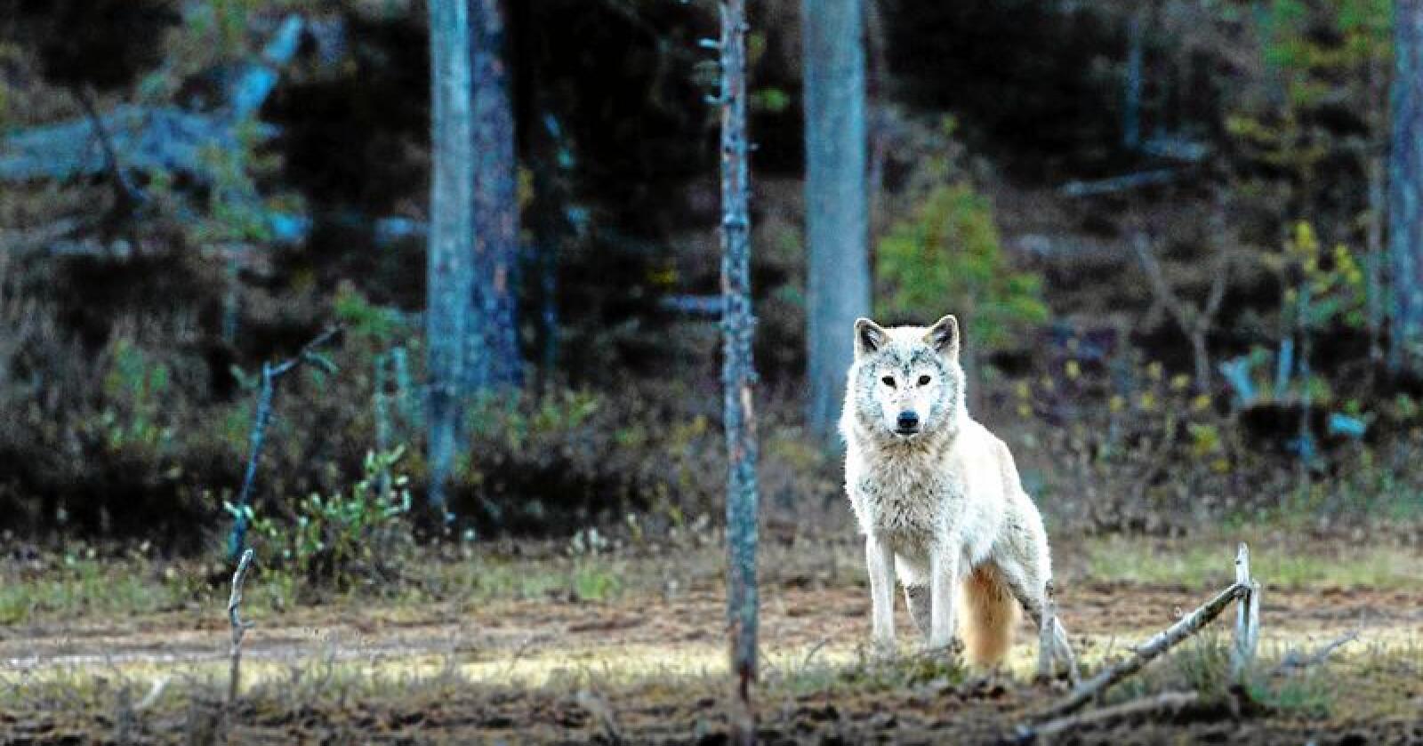 Tirsdag skal rovviltnemndene som forvalter områdene i Norge med mest ulv behandle klager på vedtaket om utvidet ulvejakt utenfor ulvesonen i Hedmark og Akershus. Foto: Per Harald Olsen/NTBU (CC BY 2.0)