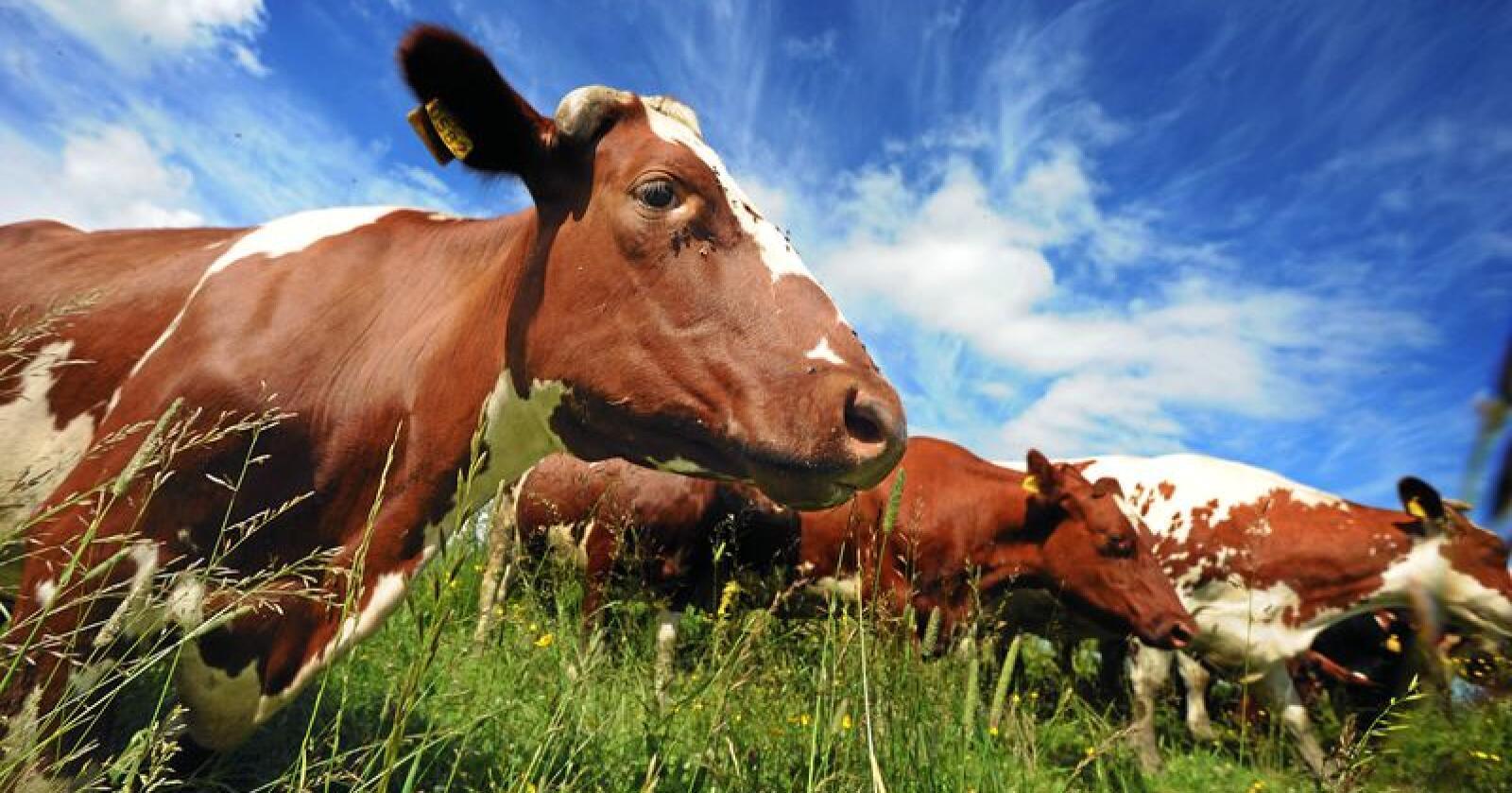 Sunket: Metanutslippene per kg storfekjøtt har sunket kraftig. Foto: Siri Juell Rasmussen