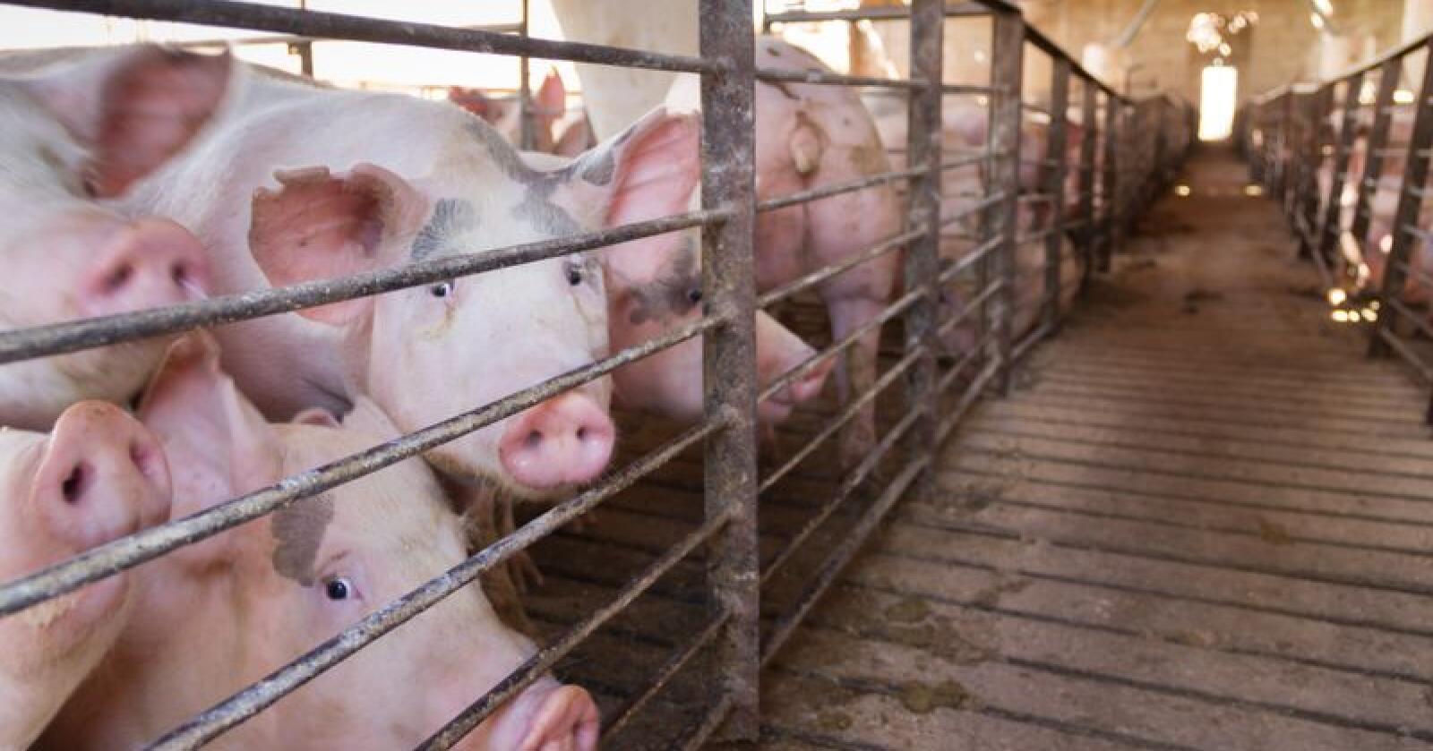 Prisene for svin har skutt i været som følge av utbrudd av afrikansk svinepest i Kina. Foto: Gabriela Bertolini