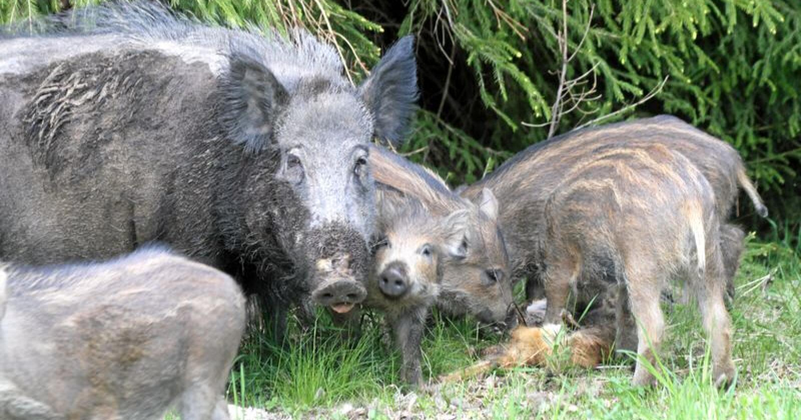 Det er påvist afrikansk svinepest hos villsvin i Tyskland. Foto: Mostphotos