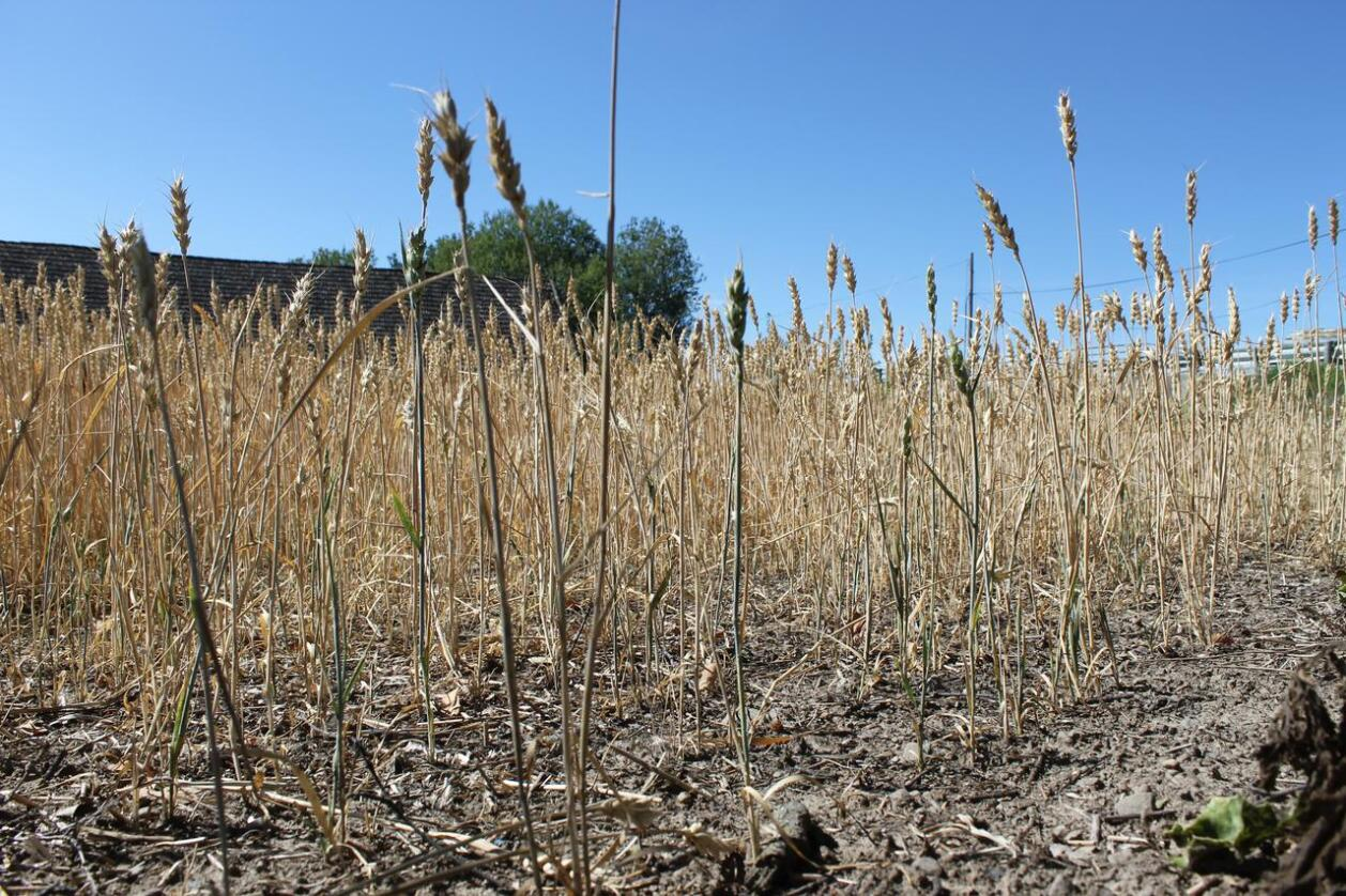 Kornavlingene i sør-Sverige er lavere i år enn etter tørkesommeren 2018. Foto: Marit Glærum