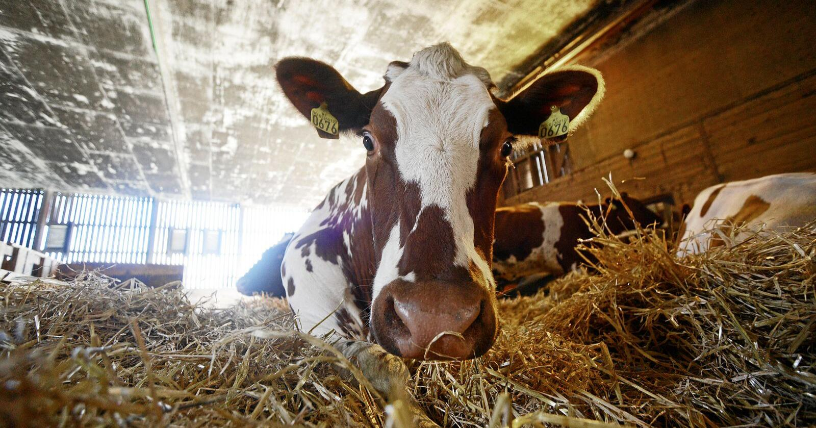 Fôring og gjødsling er blant tiltakene som kan få ned utslippene fra norsk melkeproduksjon spesielt og norsk landbruk generelt. Foto: Siri Juell Rasmussen
