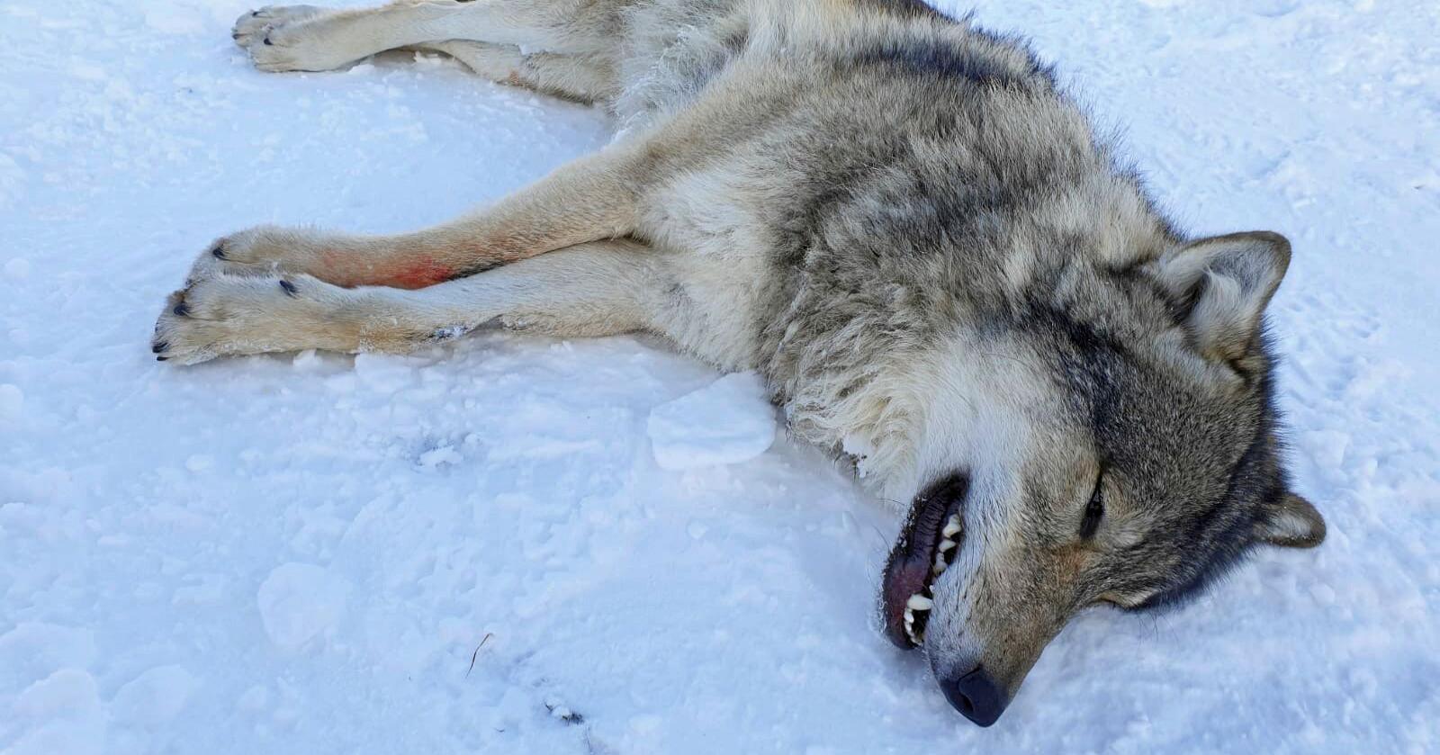 Ulv: En ulv som blir regnet som genetisk viktig blir merket og flyttet. Foto: Statens naturoppsyn/Miljødirektoratet / NTB scanpix