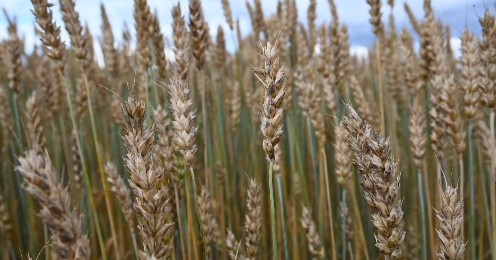 NYTENKING: Kan populasjoner være en del av framtida for økologisk kornproduksjon? Det forsøker prosjektet «Økologisk såkorn» å finne ut. Illustrasjonsfoto: Norsk Landbruk
