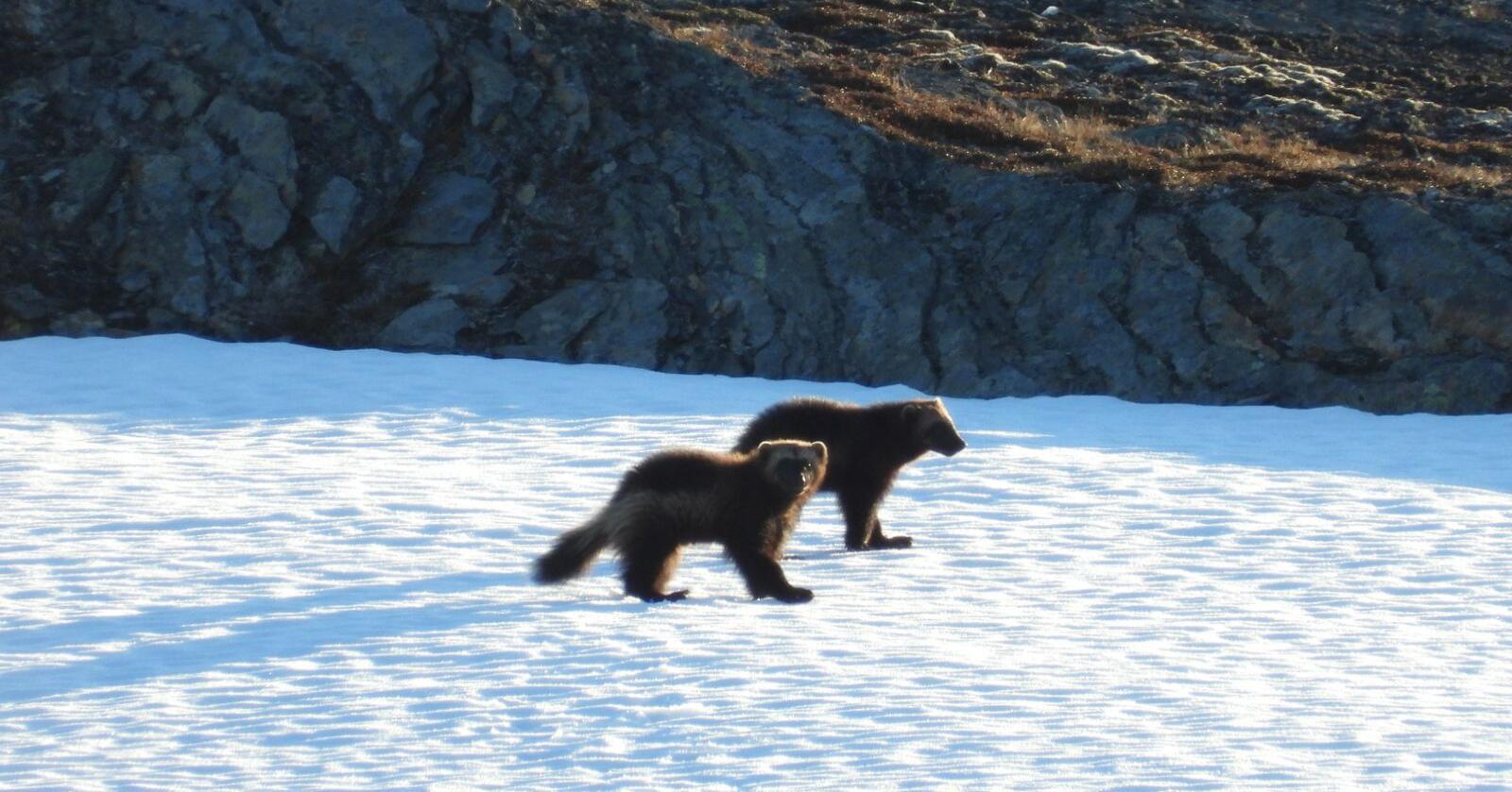 To jervevalper ble observert på snø nord for Sulitjelma i Nordland i juni i år. Foto: Vegar Pedersen/Statens naturoppsyn