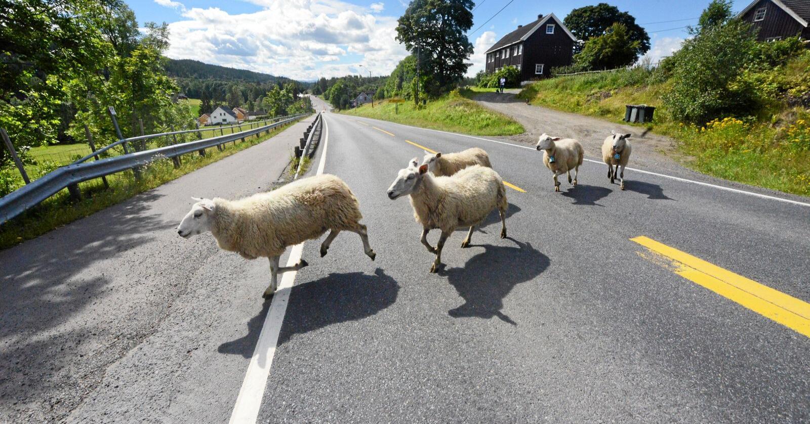 Mange har husdyr på beite i disse dager, ofte kan sauen være i nærheten av trafikerte veier. Foto: Siri Juell Rasmussen