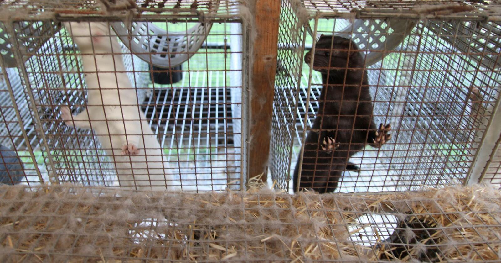 Mink er det første kjente dyret som har overført koronasmitte tilbake til mennesker. Minkene på bildet er ikke smittet. (Illustrasjonsfoto: Øystein Heggdal)