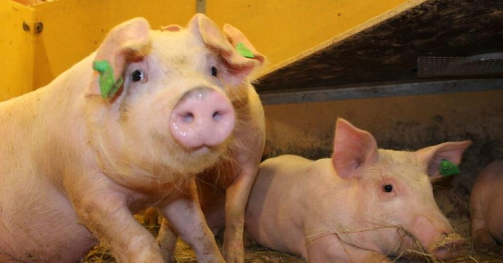 Veterinærinstituttet har analysert prøver fra en svinebesetning i Nordland som ledd i et overvåkingsprogram som gjennomføres på oppdrag fra Mattilsynet. Grisene på bildet er ikke smittet. (Arkivfoto)