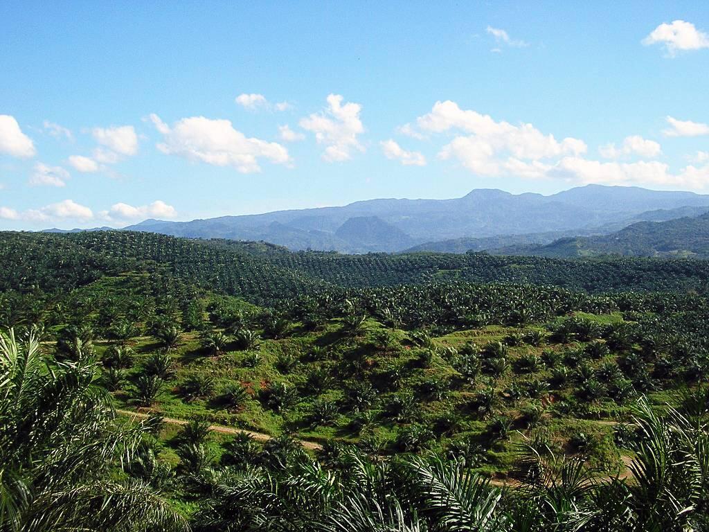 Palmeolje har gode egenskaper i maten, men er også kolesteroldrivende og kommer ofte fra en produksjon som skader verdens regnskoger. Bildet viser en palmeoljeplantasje i Indonesia. Foto: Achmad Rabin Taim (CC BY 2.0)