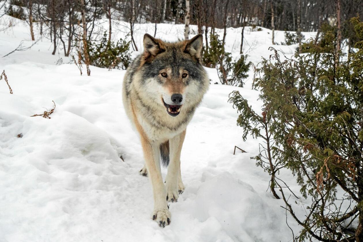 Rovdyr: Dagens rewilding av landet er en skremmende utvikling, skriver innsenderen. Foto: NTB scanpix