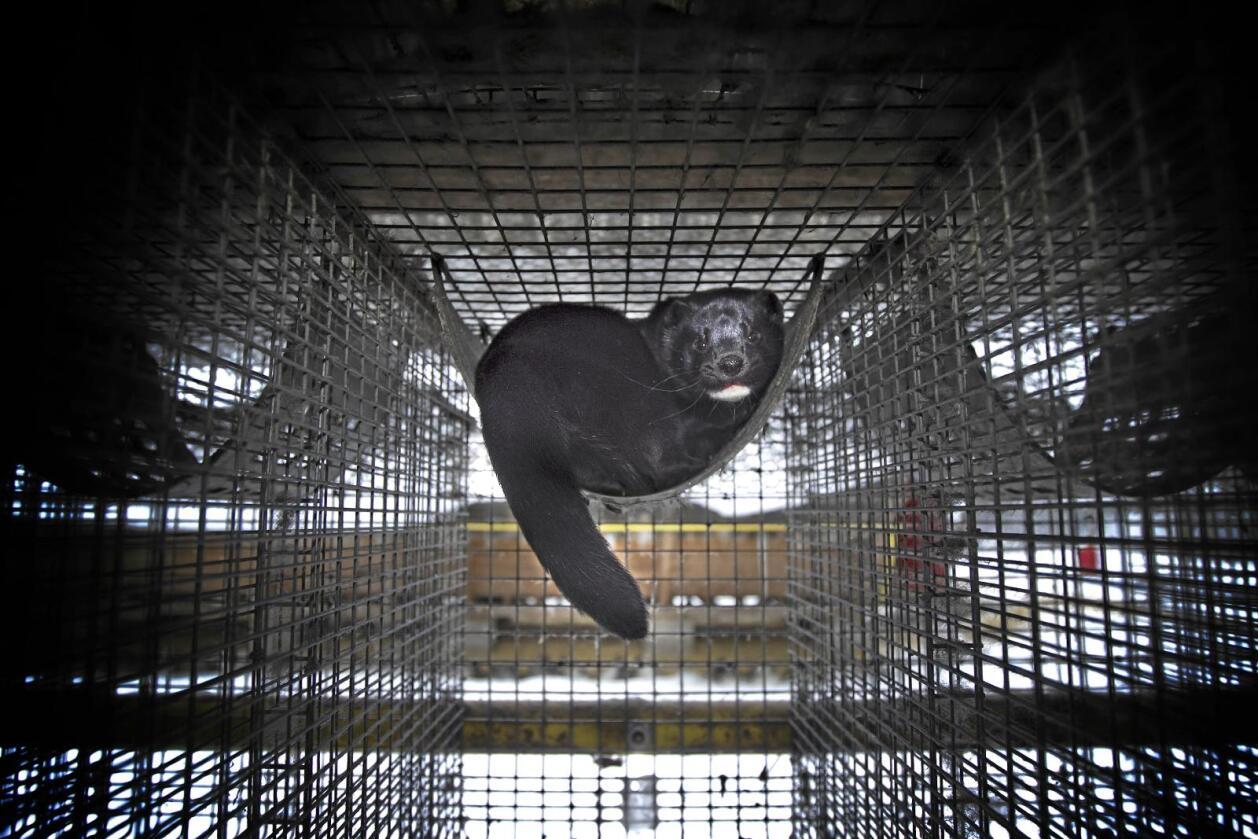 Mink er husdyr, sosialisert gjennom hundre år, skriver innsenderen. Foto: Heiko Junge / NTB scanpix