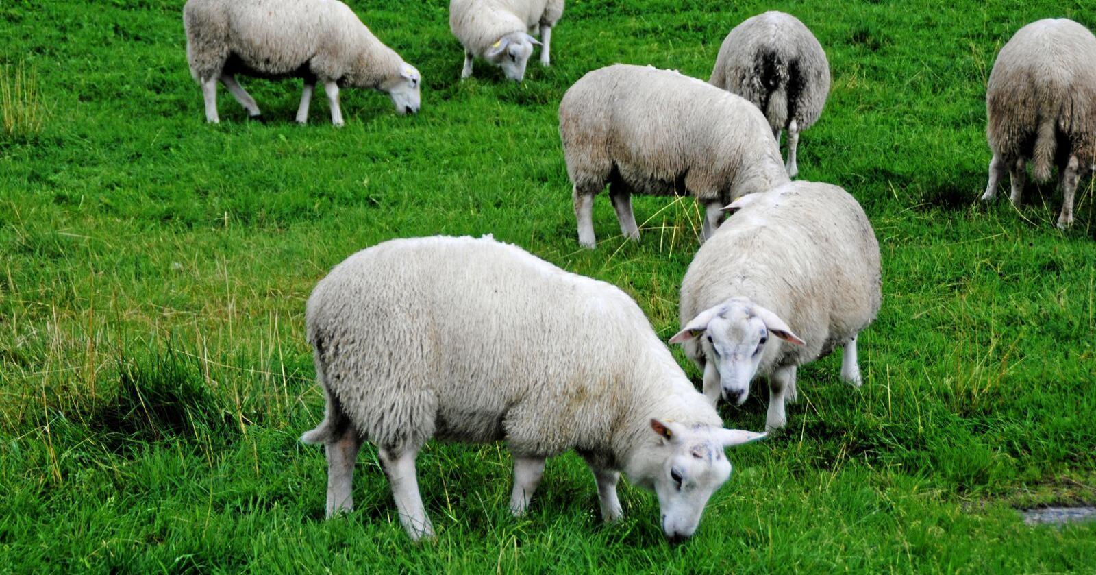 På beite: Halvparten av utmarka kan gi mat til beitedyr. Foto: Lars Bilit Hagen