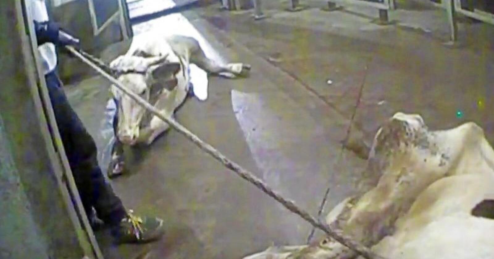 Heilt sjukt: Ein reporter i den polske TV-kanalen TVN24 har avdekt at sjuke dyr vart slakta og klassifisert vidare som friske ved eit polsk slakteri. Foto: Skjermdump TVN / Reuters / NTB scanpix