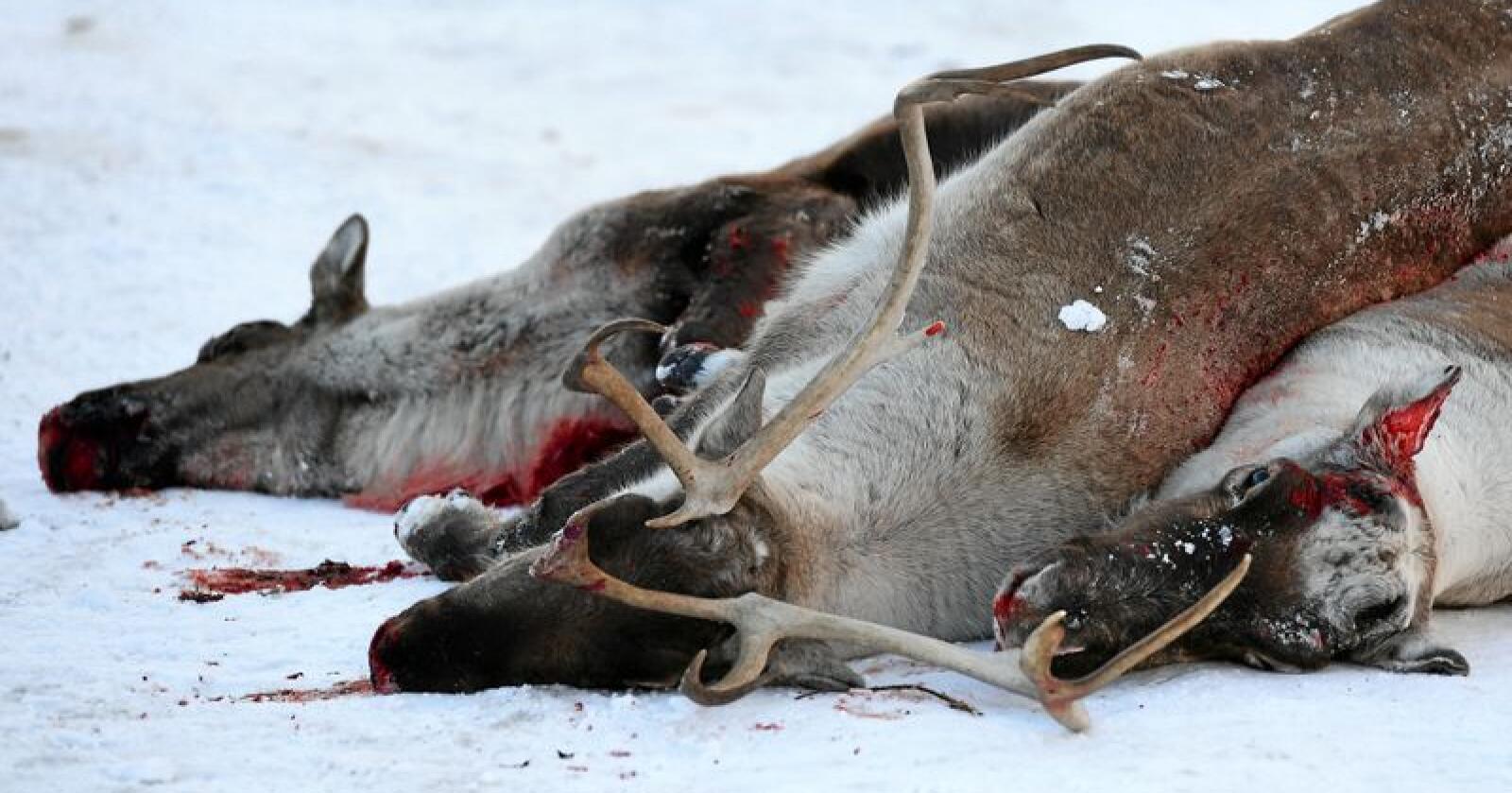 CWD: I 2017-2018 ble villreinstammen i Nordfjella slaktet ned på grunn av CWD. Nå skal 1800 bukker i villreinstammen på Hardangervidda slaktes ned. Foto: Marit Hommedal / NTB scanpix