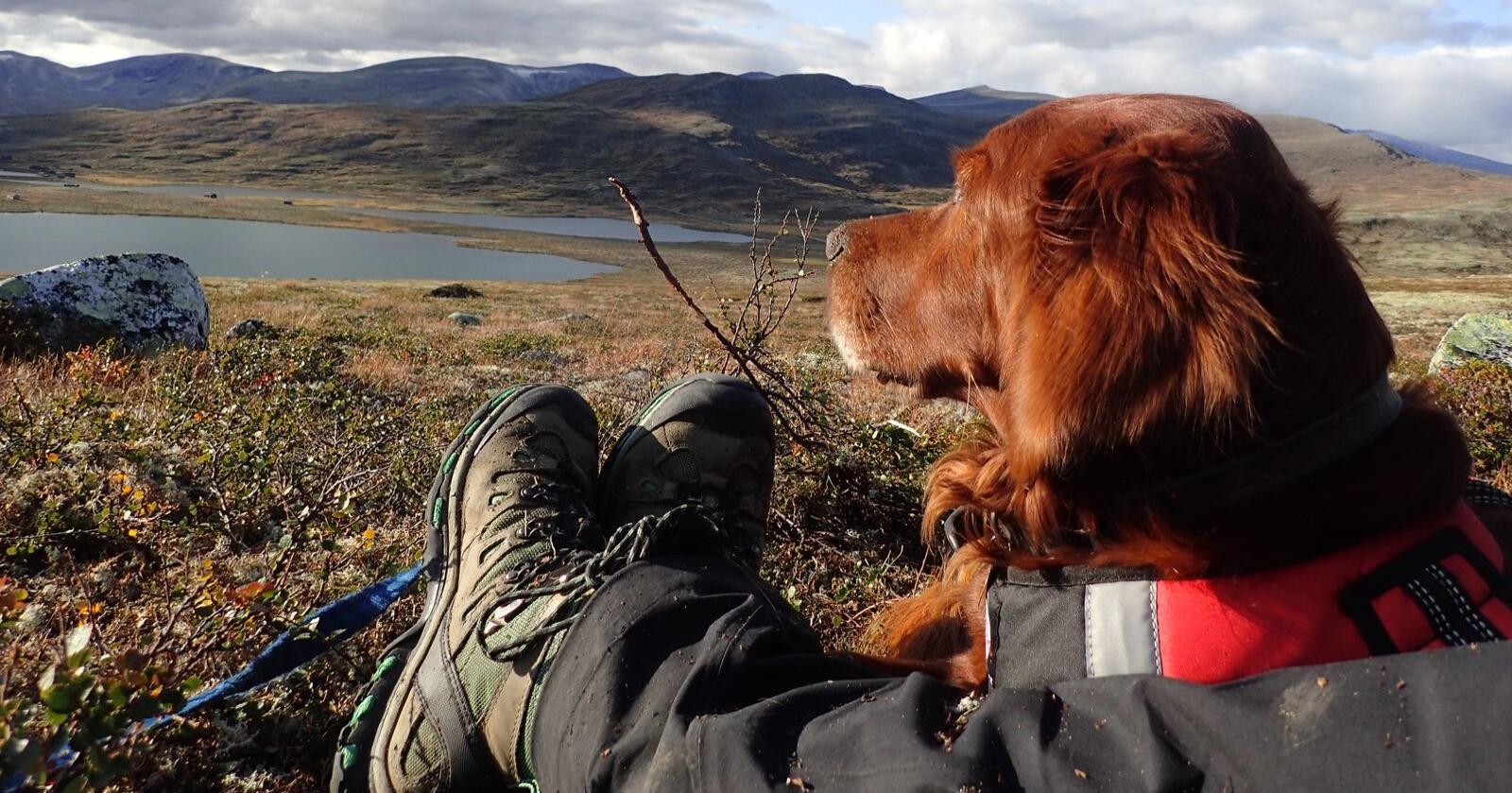 Hund og sau: I første omgang, er målet å få testet ut det utviklede rovviltavvisende utstyret på hunder. Men selskapet har ambisjoner om at også en betydelig del av sauene i norsk utmark skal kunne benytte seg av utstyret. (Illustrasjonsfoto: NFS/Torgeir Lande)