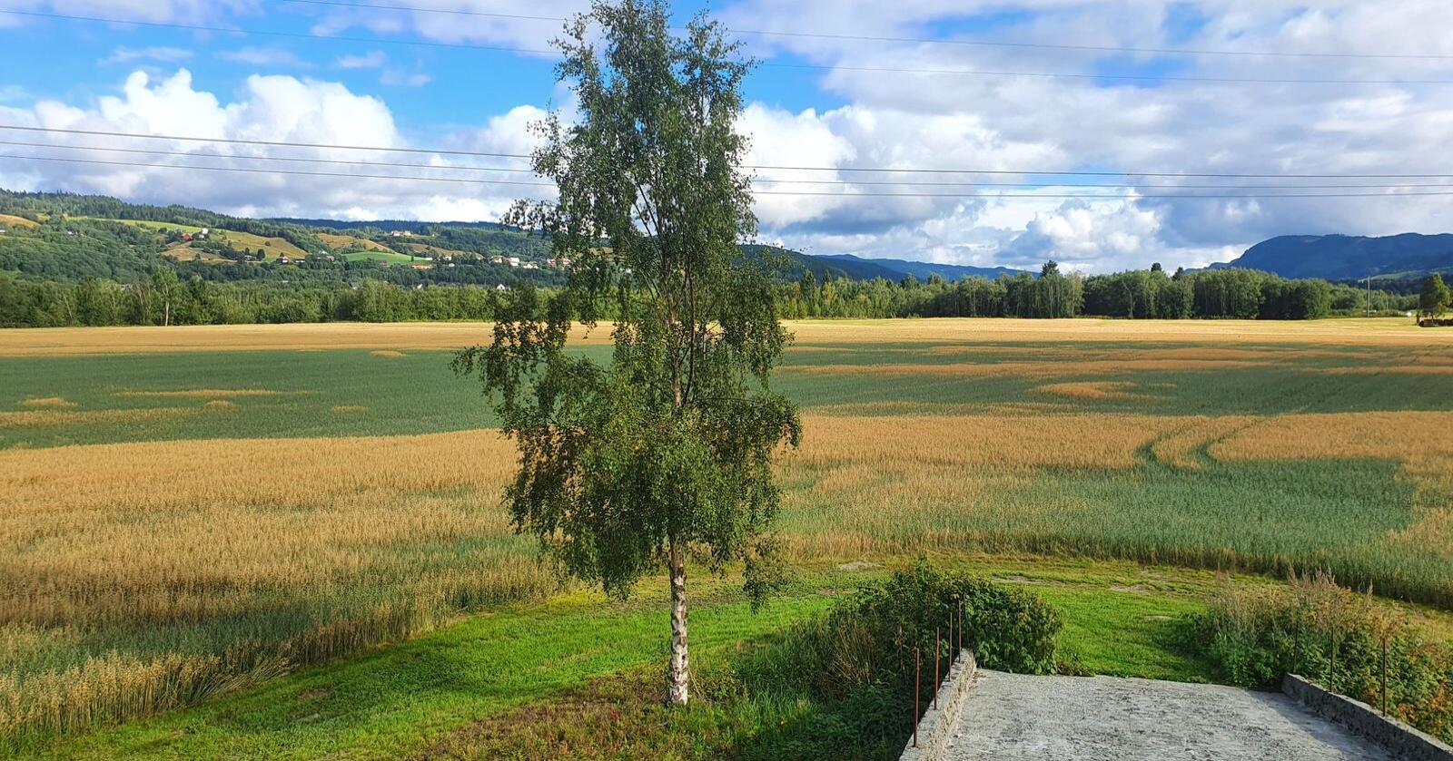 Det er til dels veldig mye etterrenning på åkrene i Trøndelag. (Foto: privat)