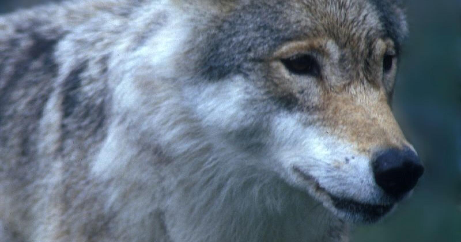 Danmarks miljøminister har iverksatt et pilotprosjekt hvor vakthunder skal hindre at ulv går til angrep på beitedyr. Illustrasjonsfoto Per Løchen / NTB scanpix.
