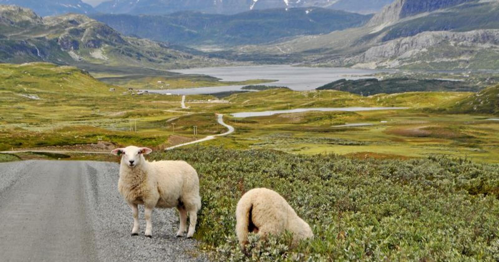 Innanfor ulvesonen: Desse to lamma i Valdres vil vera innanfor ulvesonen om Austlandet skulle bli sauefritt. Det er vanskeleg å sjå kva auka verdi det har om sau ikkje lenger får beite her. Foto: Hilde Lysengen Havro