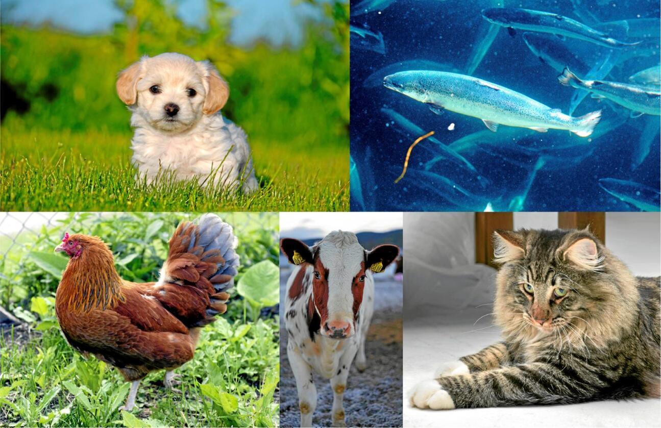 Vi gjør alt vi kan for kjæledyrene våre, mens produksjonsdyr får leve så lenge de gjør nytte for seg. Foto: colourbox/NTB scanpix/Benjamin Hernes Vogl