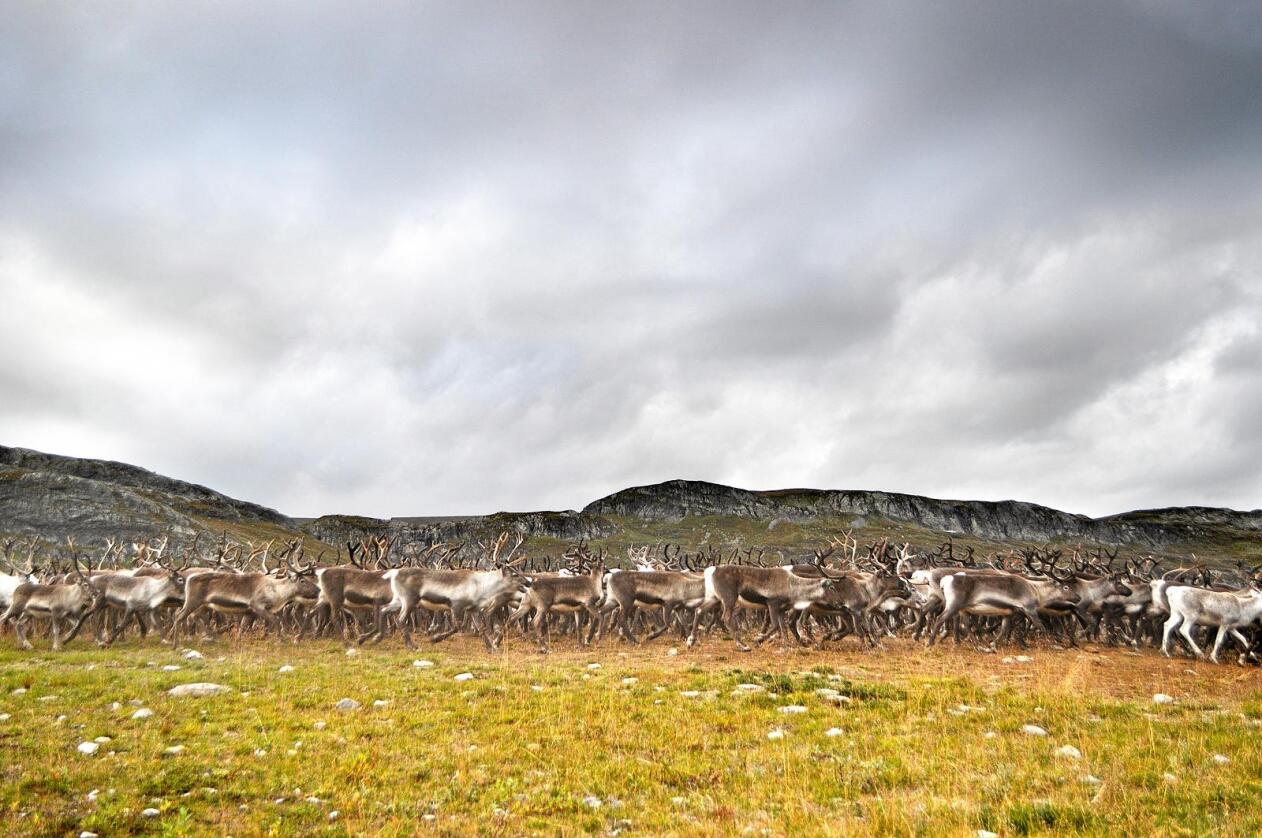 Reindrift: Det er fire tamreinlag i Oppland, og to av dei er i Vang i Valdres. Fram reinlag har ein flokk på 5000 dyr, og slaktar årleg 2000 rein. Alle foto: Hilde Lysengen Havro