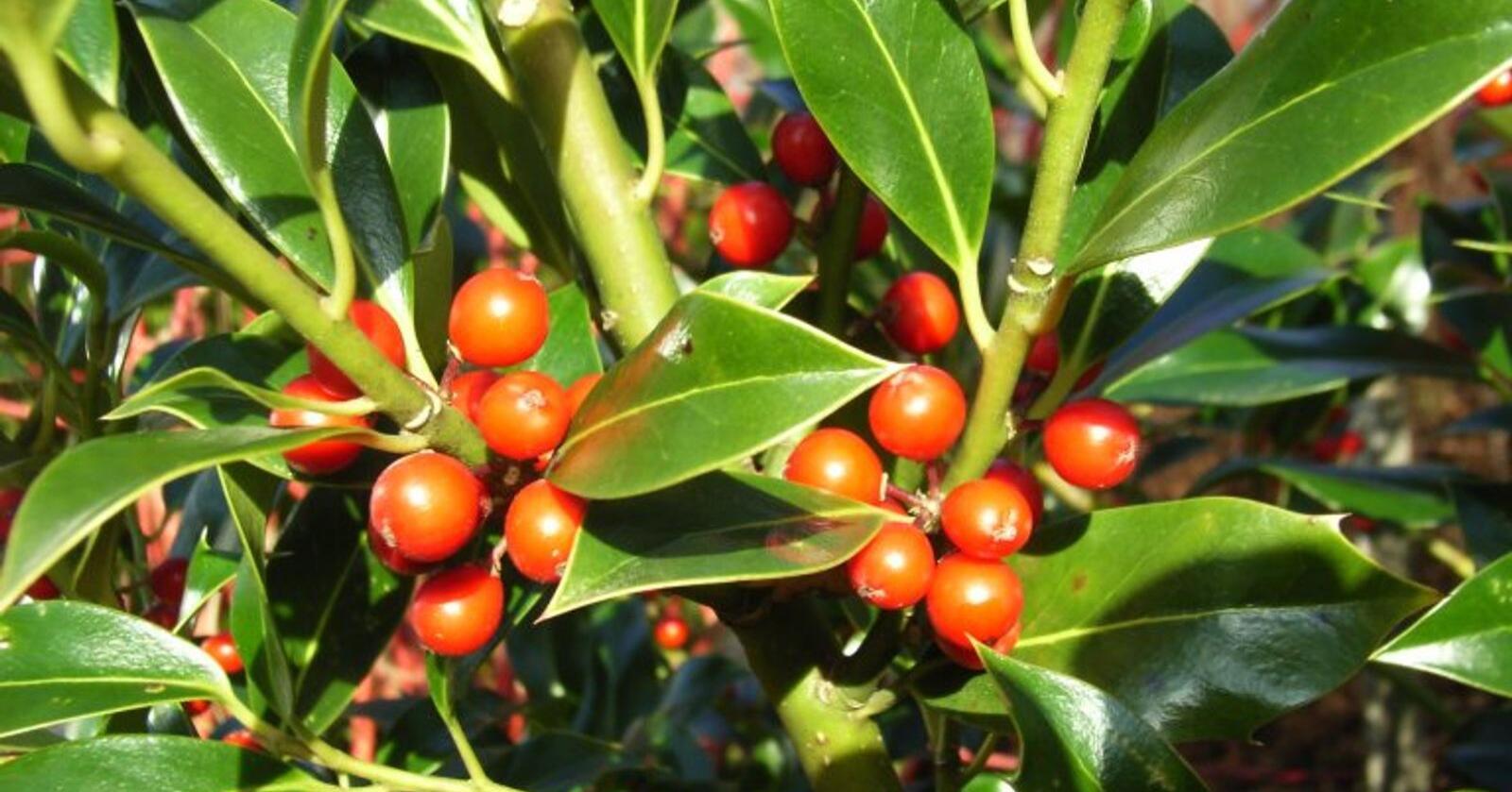 Giftige: De røde steinfruktene til kristtorn er giftige, men fugler som plukker disse fordøyer dem ikke og sørger for å spre frøene. Foto: Åsmund Asdal
