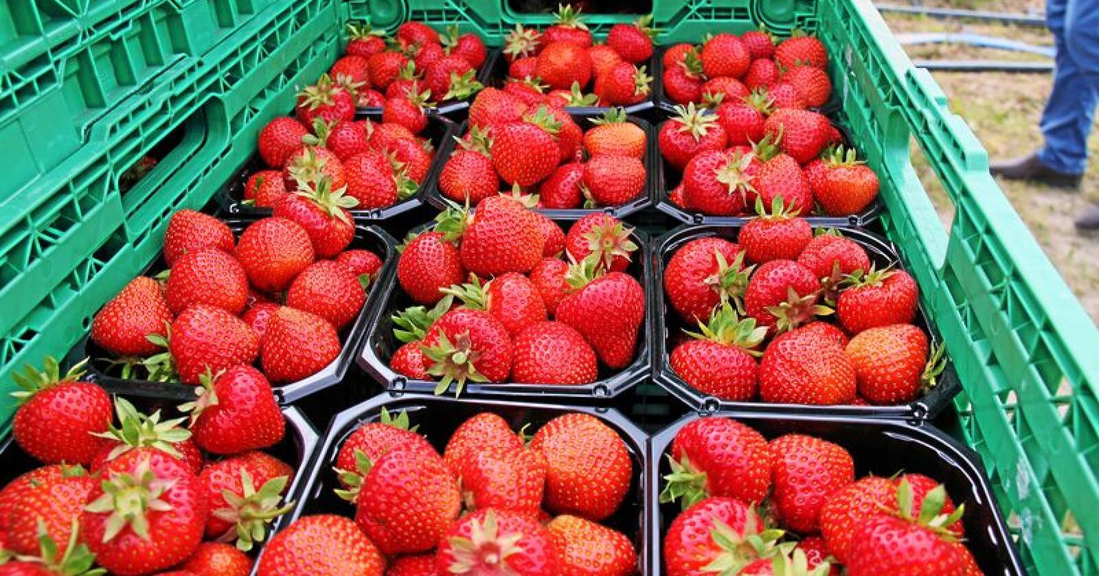 Norske jordbær er ofte en vesentlig ingrediens i nordmenns sommerferier. Foto: Werner Dallawara