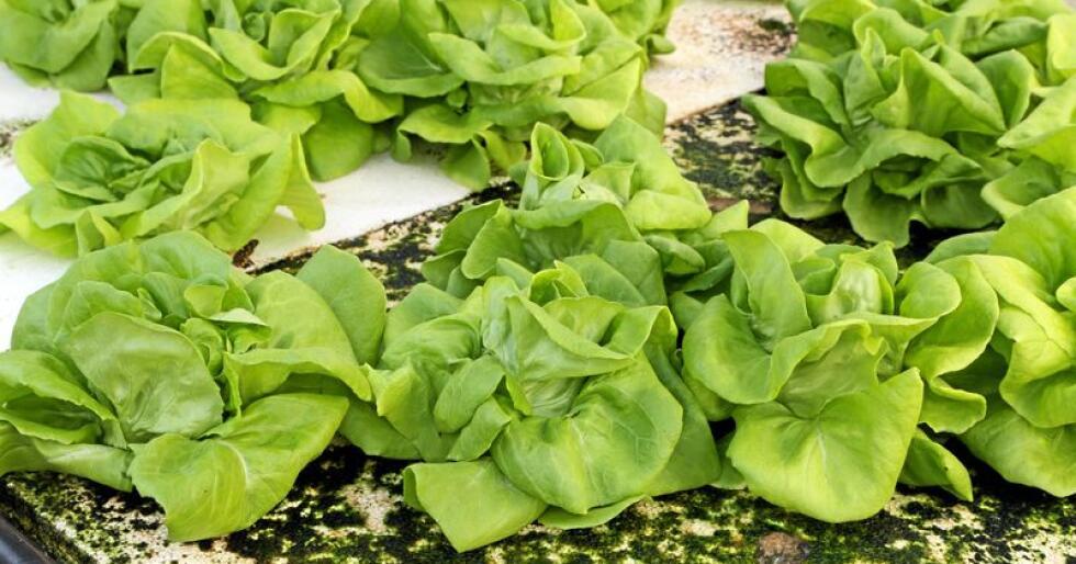 Hydroponisk landbruk, hvor grønnsaker dyrkes uten matjord, er blant teknikkene leserbrevforfatteren ser for seg vil slå anblant norske bønder. Foto: Geargodz / Mostphotos