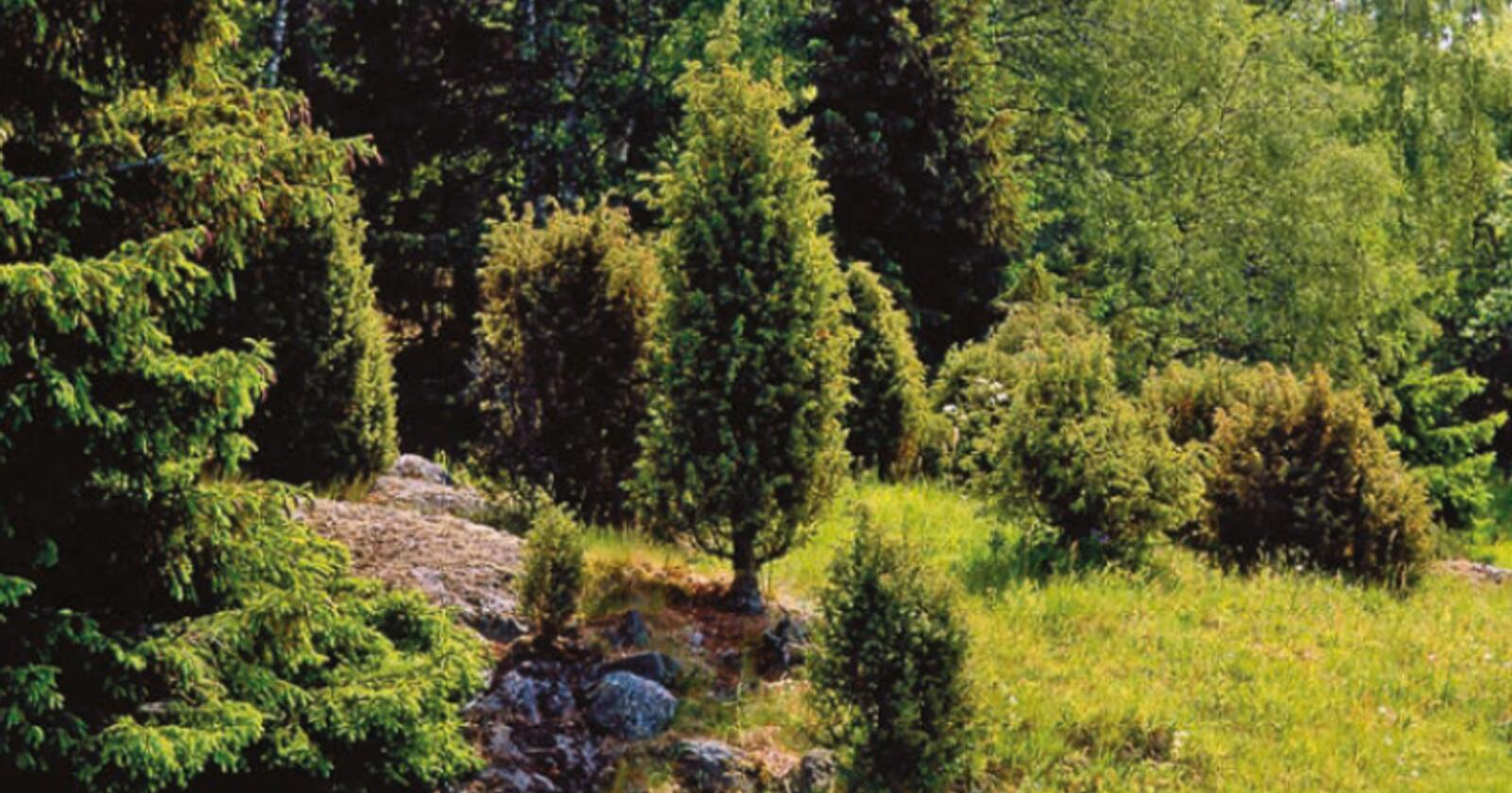 Arv og miljø: Einer kan være lavtvoksende og krypende busker eller høyreiste, søyleformede trær. Vokseformen er dels bestemt av genene og dels av miljøforholdene. Noen ganger er det bare genene som bestemmer. Foto: Svein Grønvold