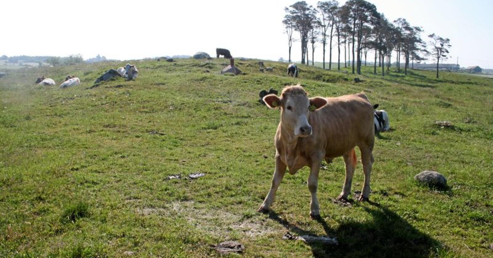 Import på kjøtt blir dyrere, det på grunn av fôrkrisa og nedslakting av dyr. Foto: Bjarne Bekkeheien Aase.
