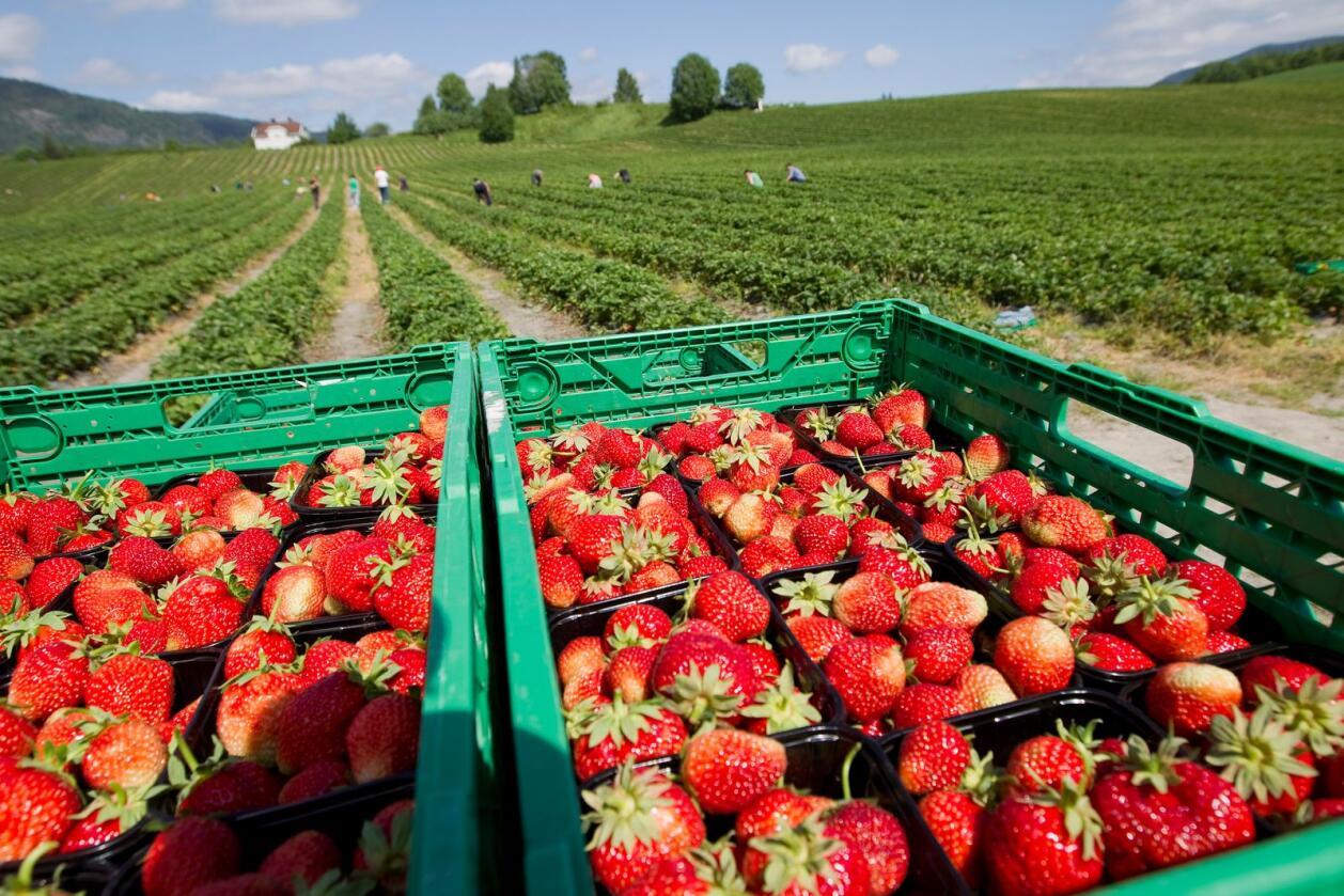 Gartnerhallen er forberedt på en sesong med rundt 30 prosent færre norske jordbær sammenlignet med fjoråret. Her fra Egge Gård i Lier tilbake i 2010. Foto: Gorm Kallestad/NTB/NPK