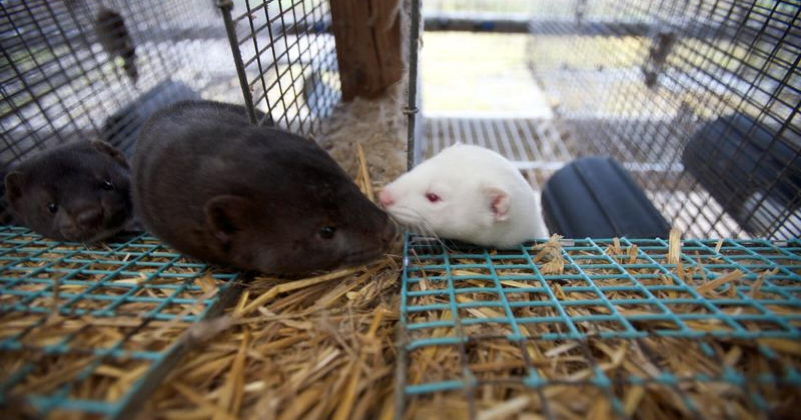 Foto av mink på en pelsdyrfarm. Det er usikkert om pelsdyrforliket vil få flertall i Stortinget. Foto: Alf Ove Hansen / NTB scanpix
