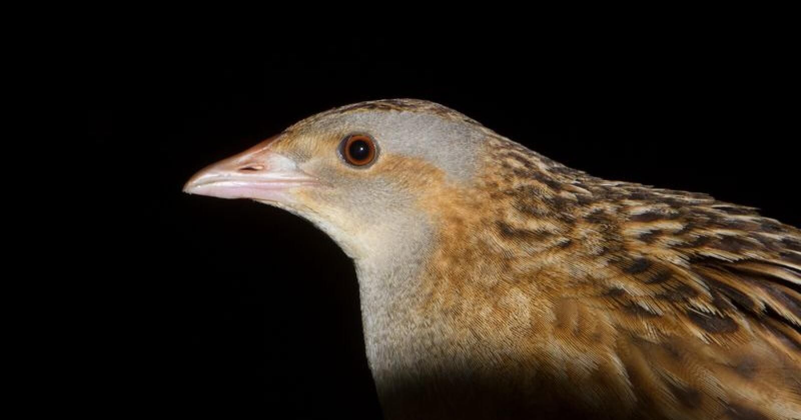 Åkerriksa er en av mange fuglearter i kulturlandskapet som sliter, skriver NOF. Bildet er tatt under kontrollerte forhold. (Foto: Frode Falkenberg, NOF)