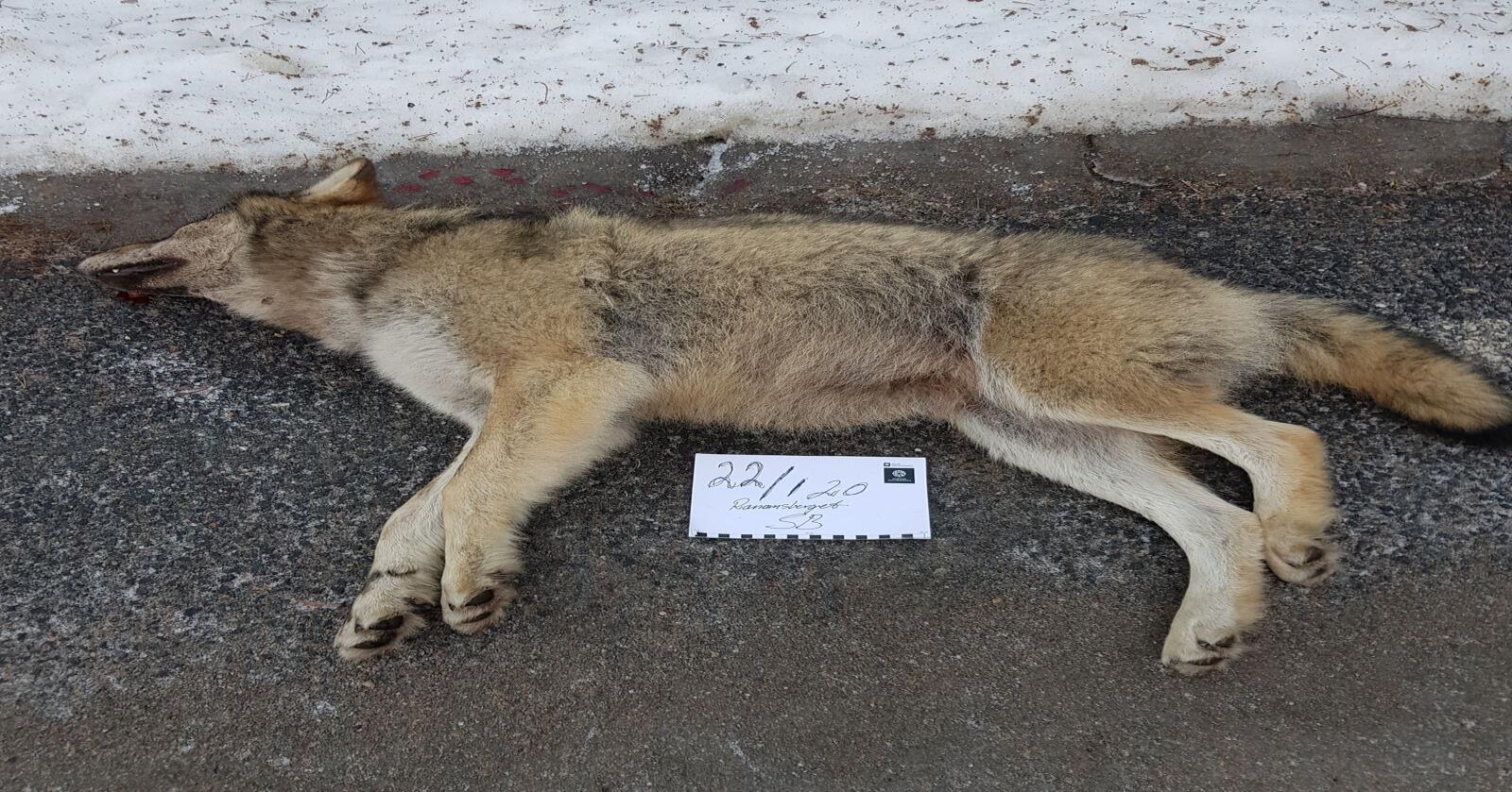 Denne ulven på 31 kilo ble påkjørt i Våler onsdag morgen. Foto: Statens Naturoppsyn / NTB scanpix