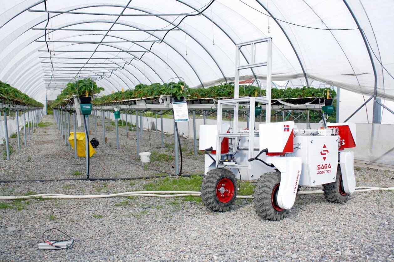 Forskere håper landbruksroboten Thorvald kan løse jordbærproblemene. Han kan nemlig overvåke og behandle bærene for mugg og sopp uten å bruke sprøytemidler. Foto: NMBU