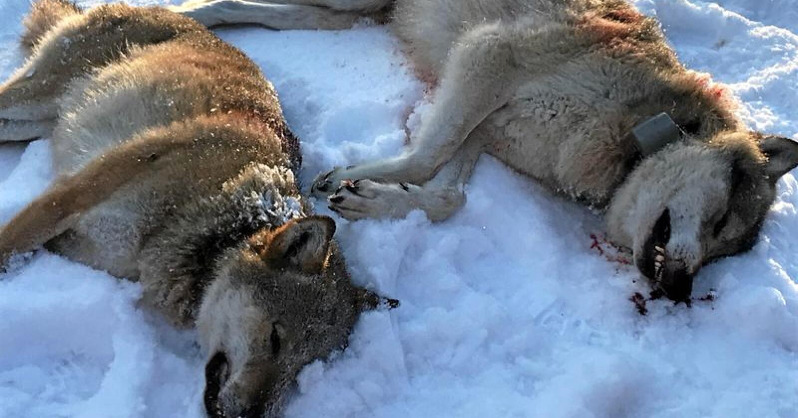 Disse to ulvene ble skutt i Slettås i Trysil kommune i januar. Foto: Ole Martin Norderhaug