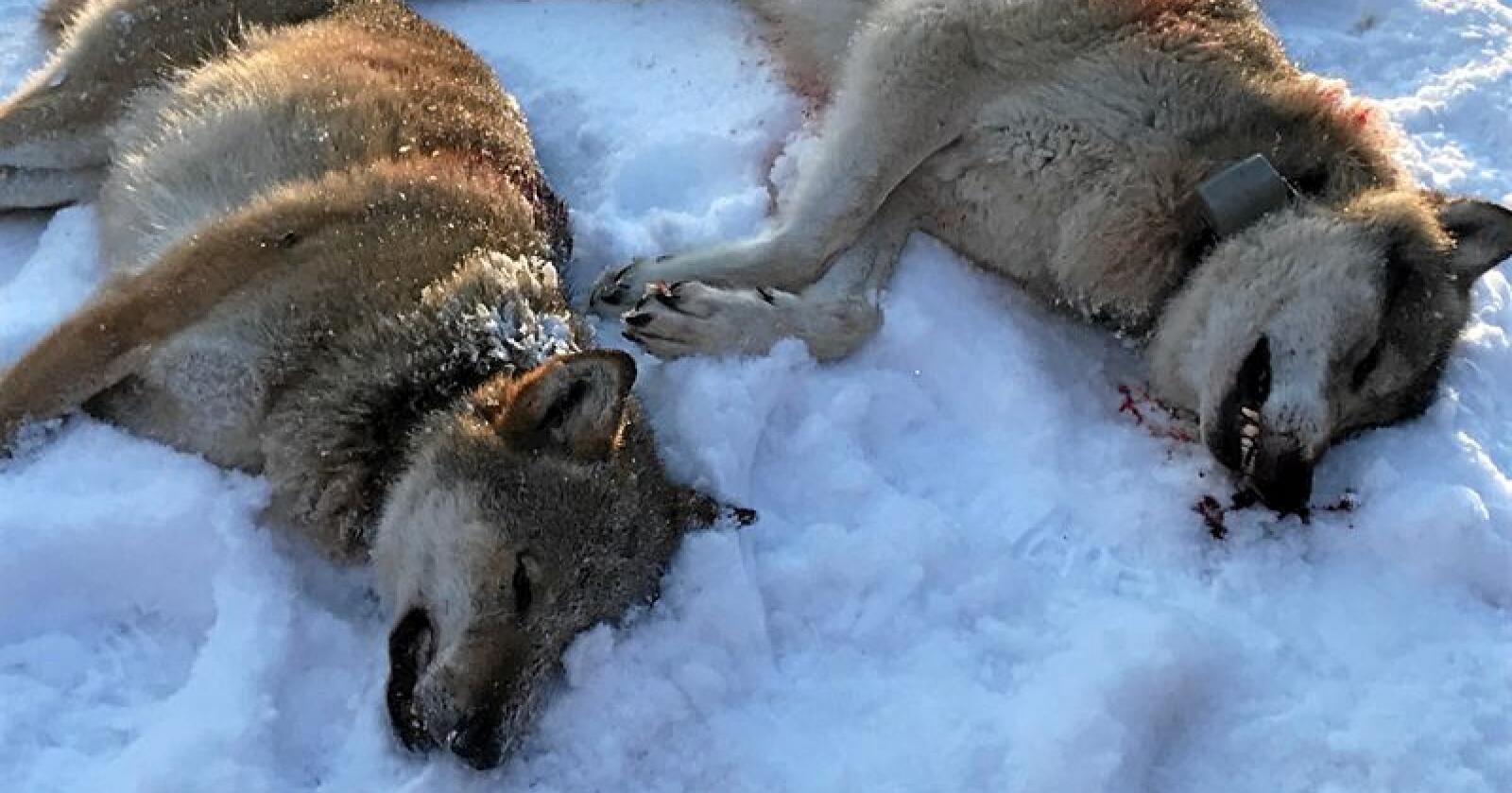 Ulvene som ble skutt i Trysil i Hedmark tirsdag. Foto: Ole Martin Norderhaug