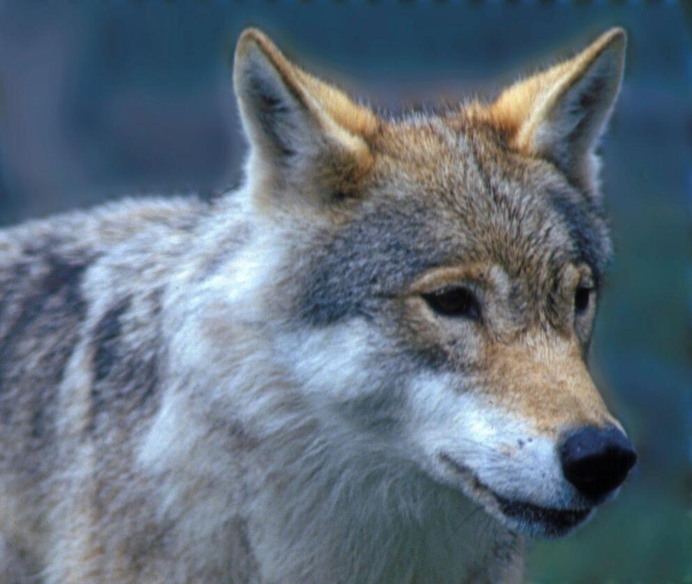 Går videre: Ulven i Hurdal og omegn har unngått jegerne fram til nå. Derfor blir jakten forlenget. Foto: NTB scanpix
