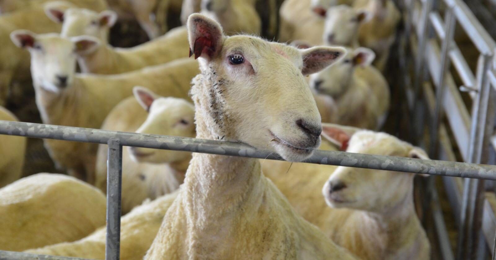 I facebookgruppa Sauefolk skriver flere sauebønder at de har fått spørsmål om å selge livdyr til privatpersoner. (Illustrasjonsfoto: Bondebladet)