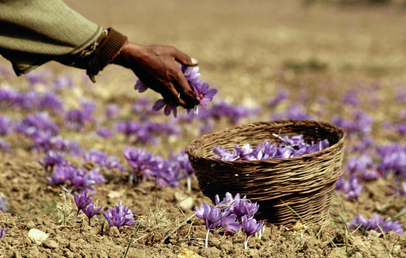 Krevende: Å sanke krydder fra den lille krokusplanten er krevende håndarbeid. For å få en kilo safran trengs det 200.000 blomster. Foto: Colourbox