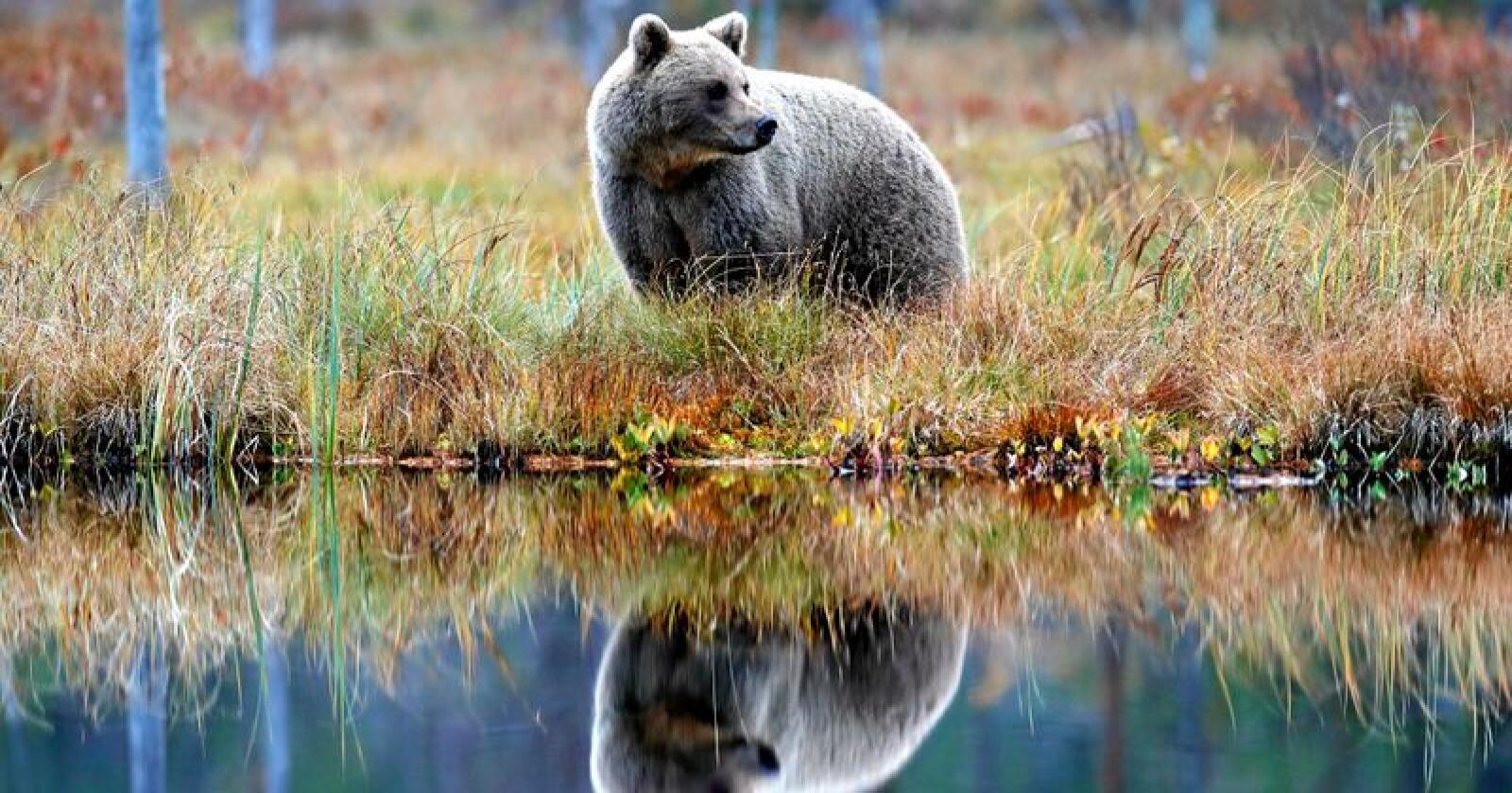 En skadegjørende bjørn i Namdalen viste seg overraskende å være en binne. (Bjørnen på bildet er ikke den omtalte bjørnen.) Foto: Ondrej Prosicky / Mostphotos