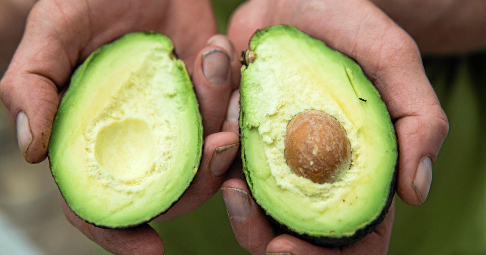 Forbruket av avokado har økt voldsomt de siste årene. Foto: Berit Roald / NTB scanpix