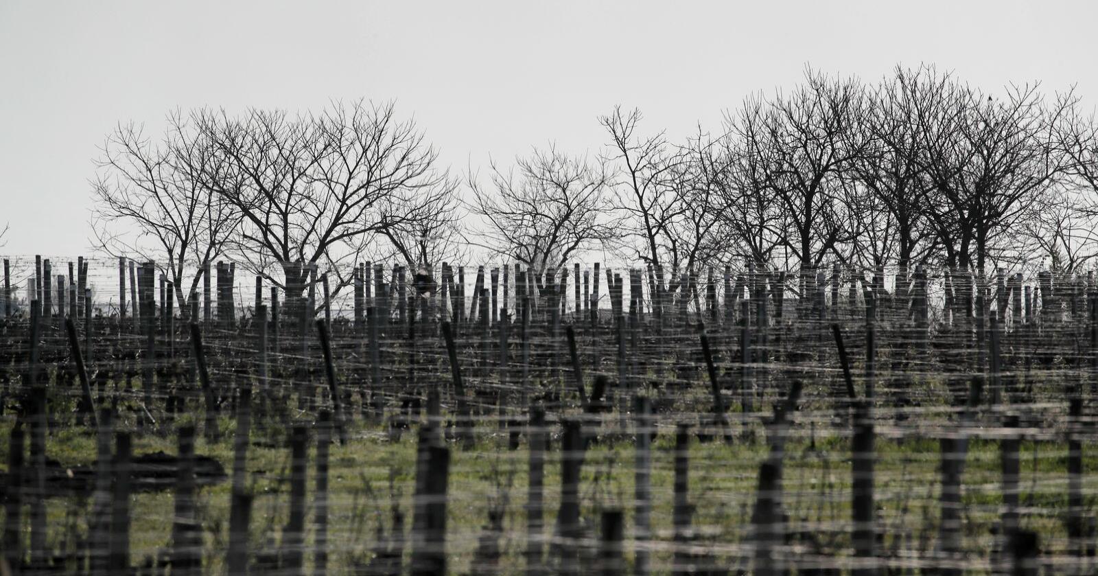 Frost skaper store problemer for franske vinbønder som kan få store deler av årets avling ødelagt. Illustrasjonsfoto: Christophe Ena / AP / NTB