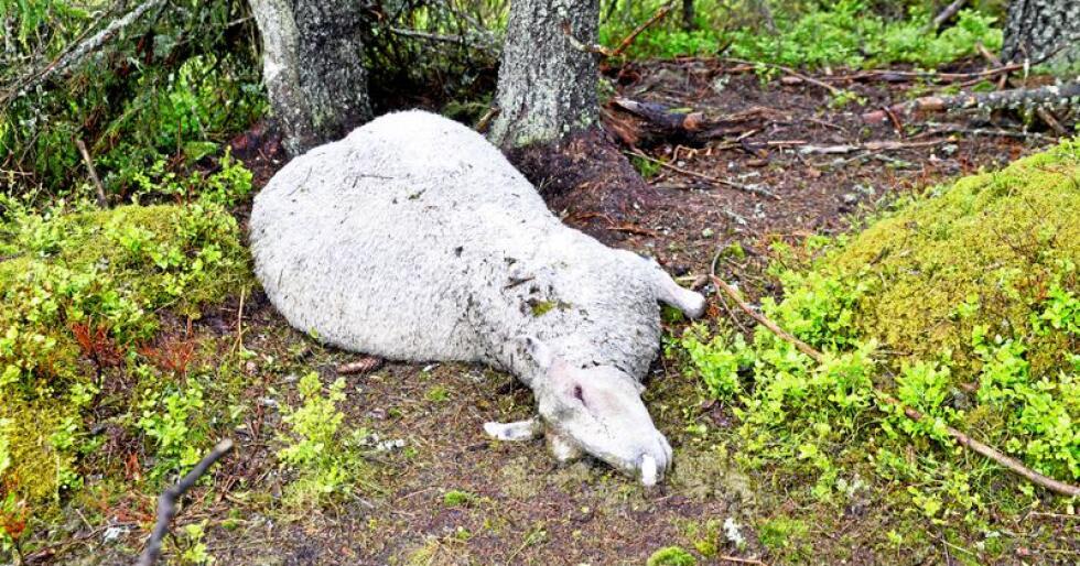 Tatt av ulv: De lidelsene husdyrene opplever når de rives i hjel av ulven kan vanskelig måles i penger, skriver innsenderen. Foto: Mariann  Tvete
