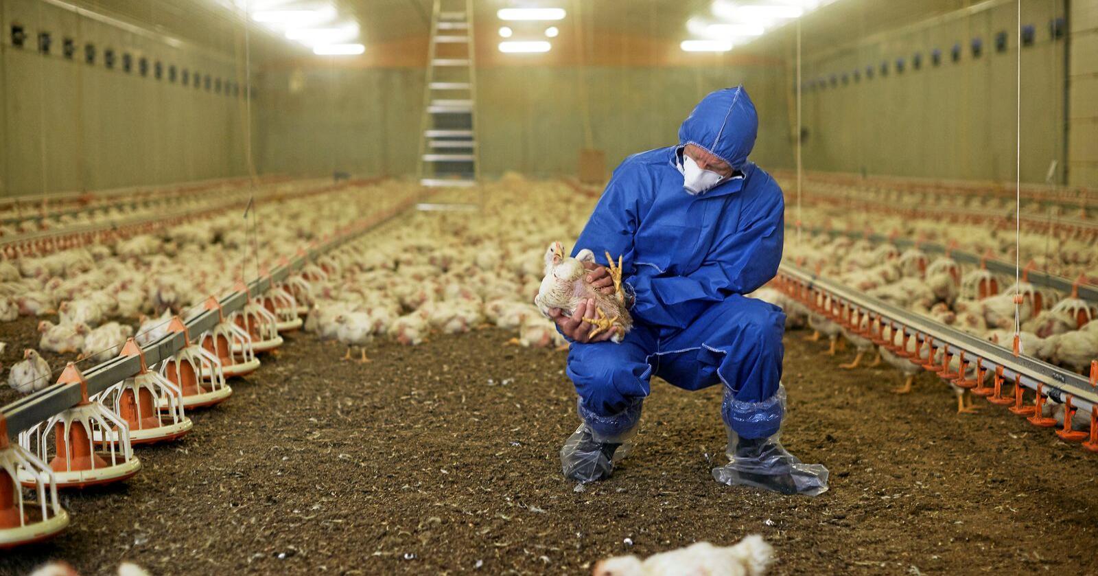 En av Mattilsynets inspektører på arbeid under kyllingkontroll. Illustrasjonsfoto: Mattilsynet/ flickr.com