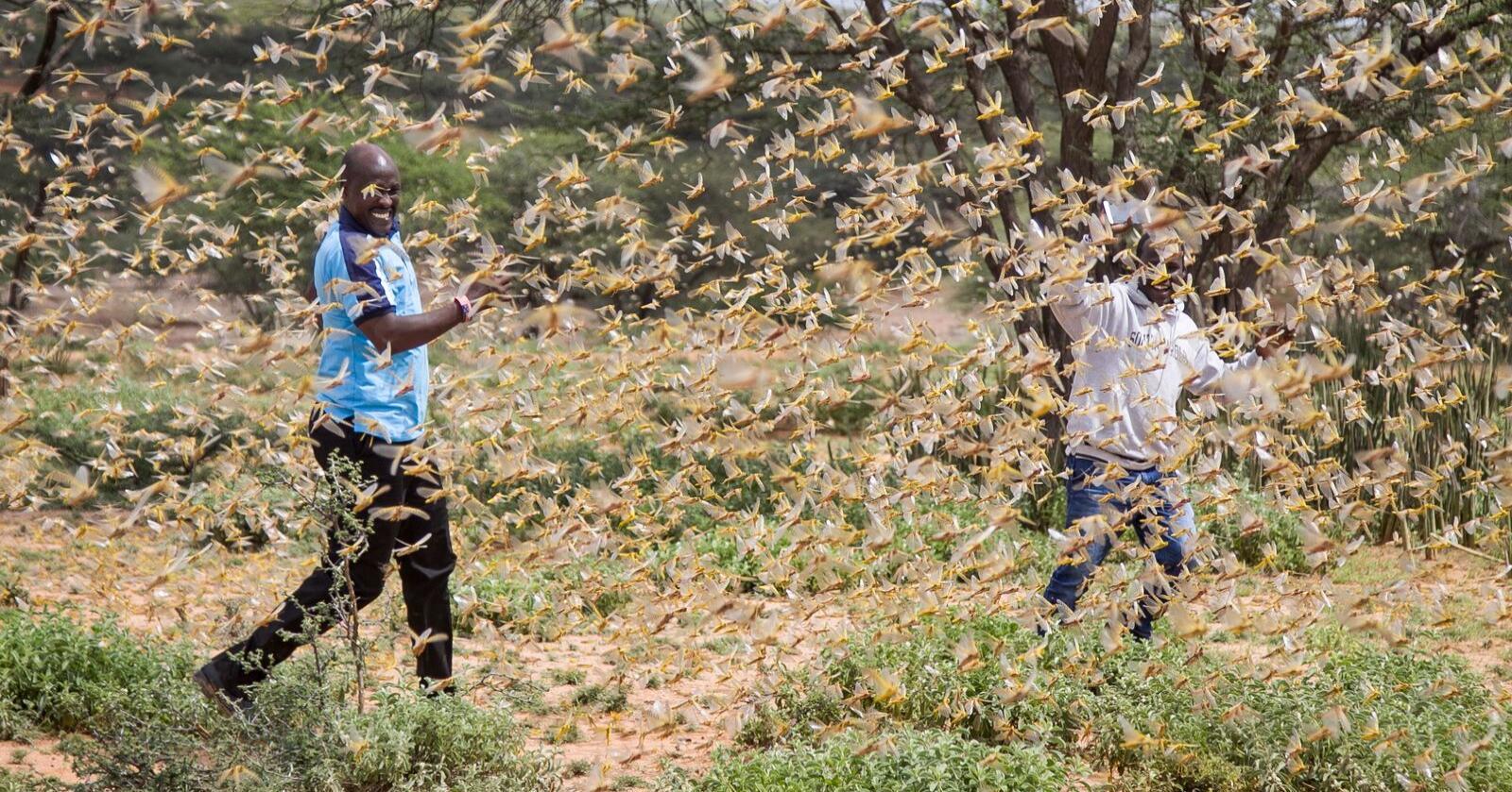 Et lokalt katastrofeteam som jobber med å kartlegge gresshoppenes herjinger, omringes av en sverm i nærheten av landsbyen Sissia i Samburu i Kenya tidligere i januar. Foto: Patrick Ngugi / AP / NTB scanpix